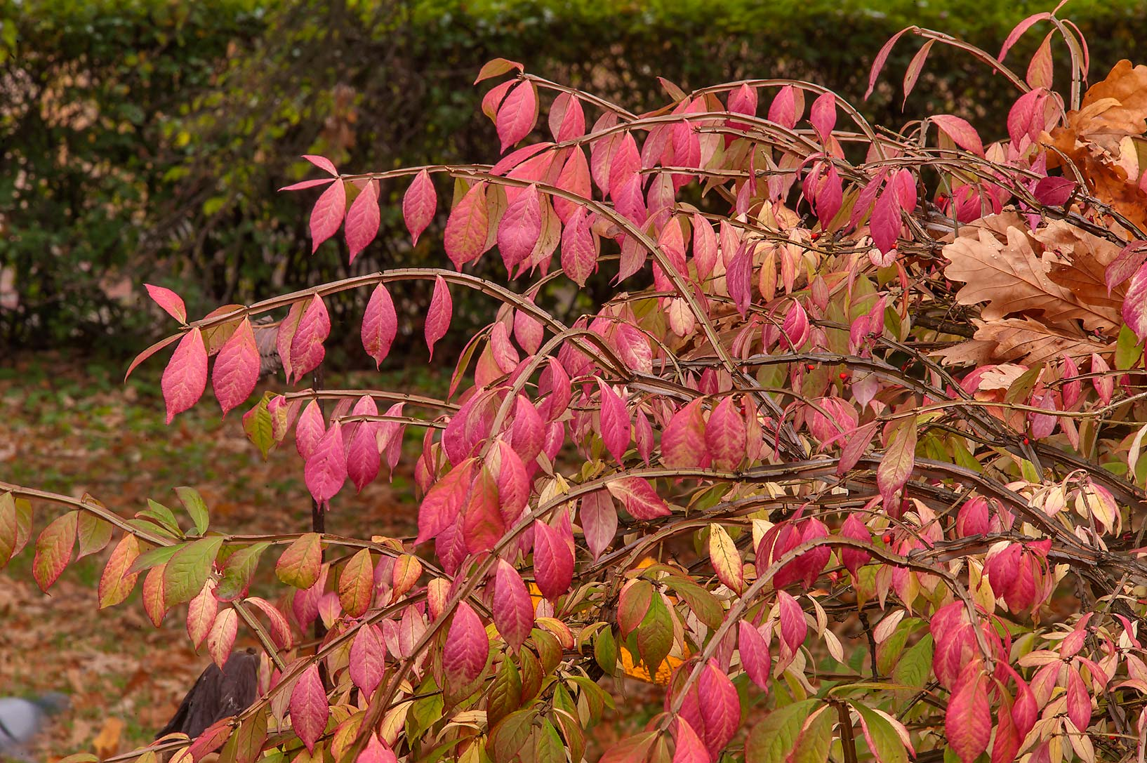 Fall colors of Euonymus bushes (Russian name...Institute. St.Petersburg, Russia