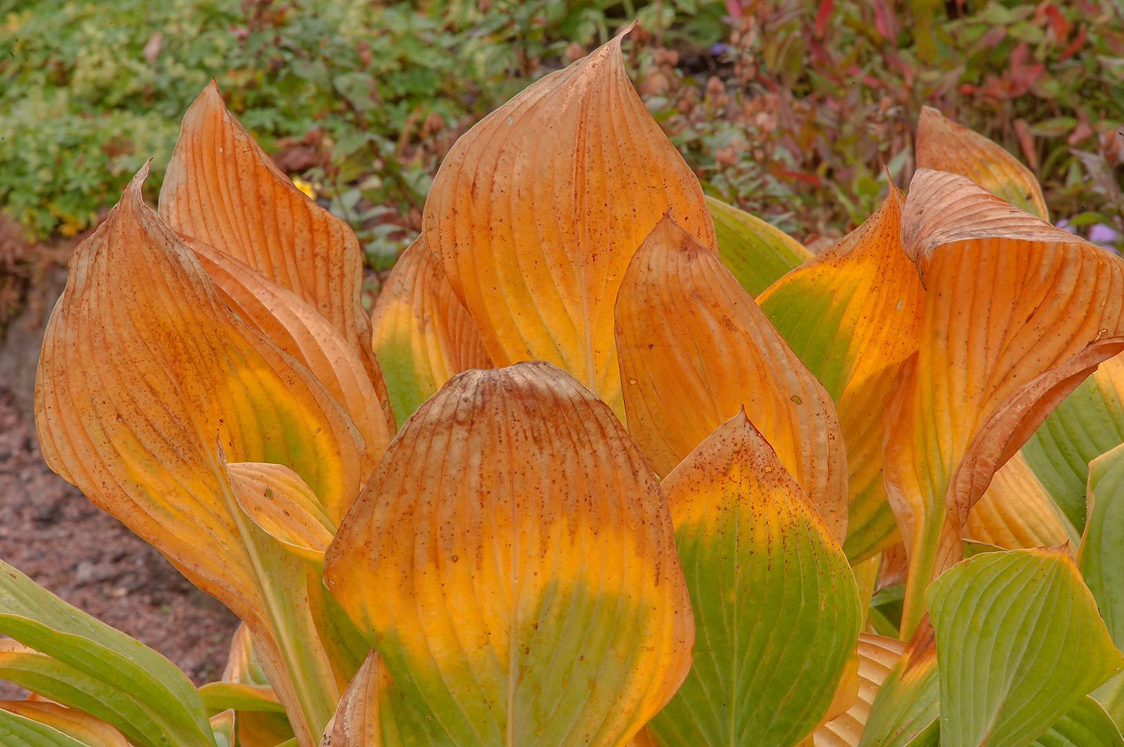 Yellow leaves of plantain lily (hosta) in Botanic...Institute. St.Petersburg, Russia