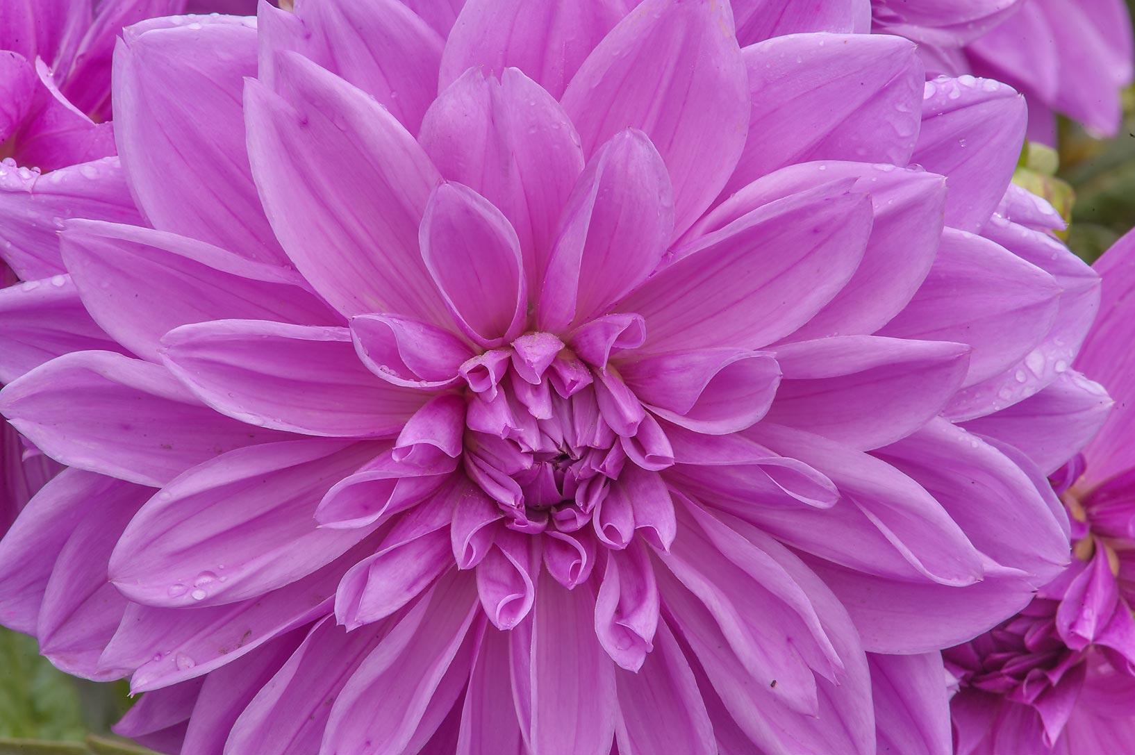Photo 1654 24 Small Purple Dahlia Flowers Russian Name
