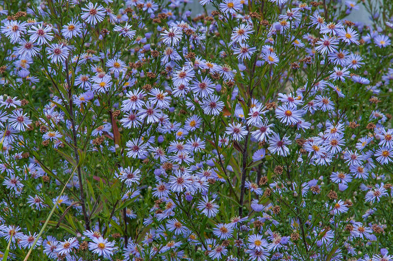 Blue fall asters (Michaelmas daisy, Aster amellus...Institute. St.Petersburg, Russia