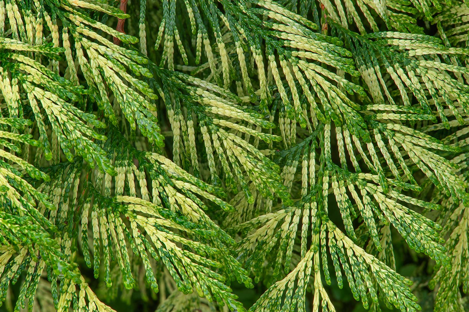 Ornamental Thuja leaves in Botanic Gardens of...Institute. St.Petersburg, Russia