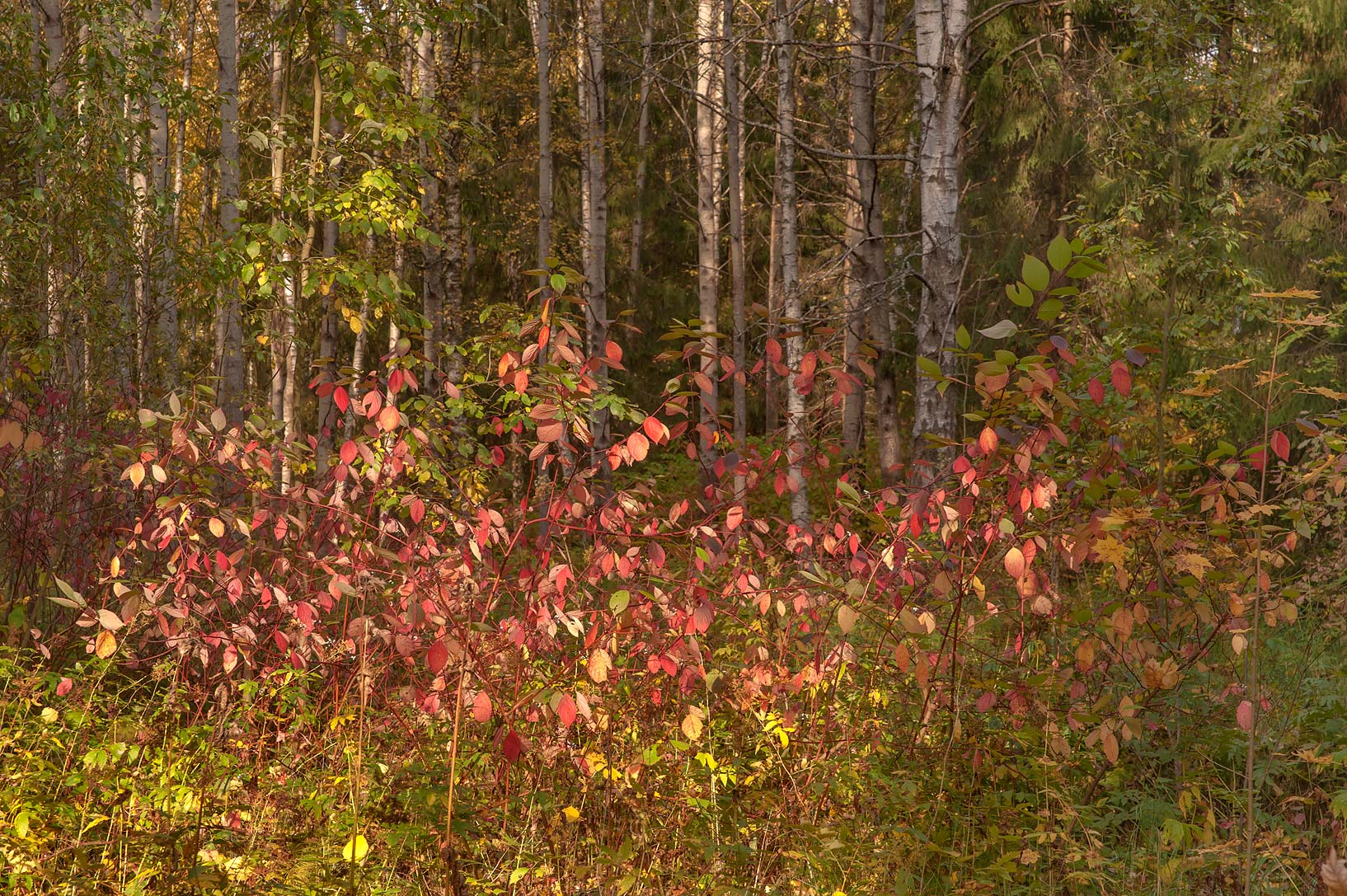 Redbud foliage in a forest south-east from...south from St.Petersburg, Russia