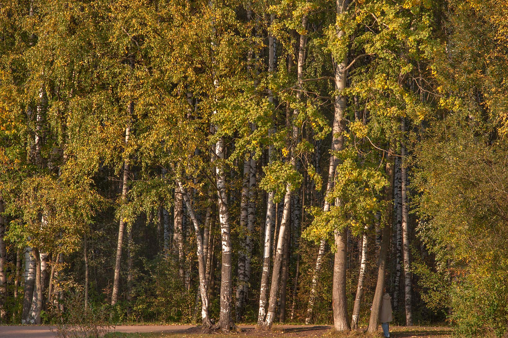Birch trees of Karasiovoe Lake in northern area of Sosnovka Park. St.Petersburg, Russia