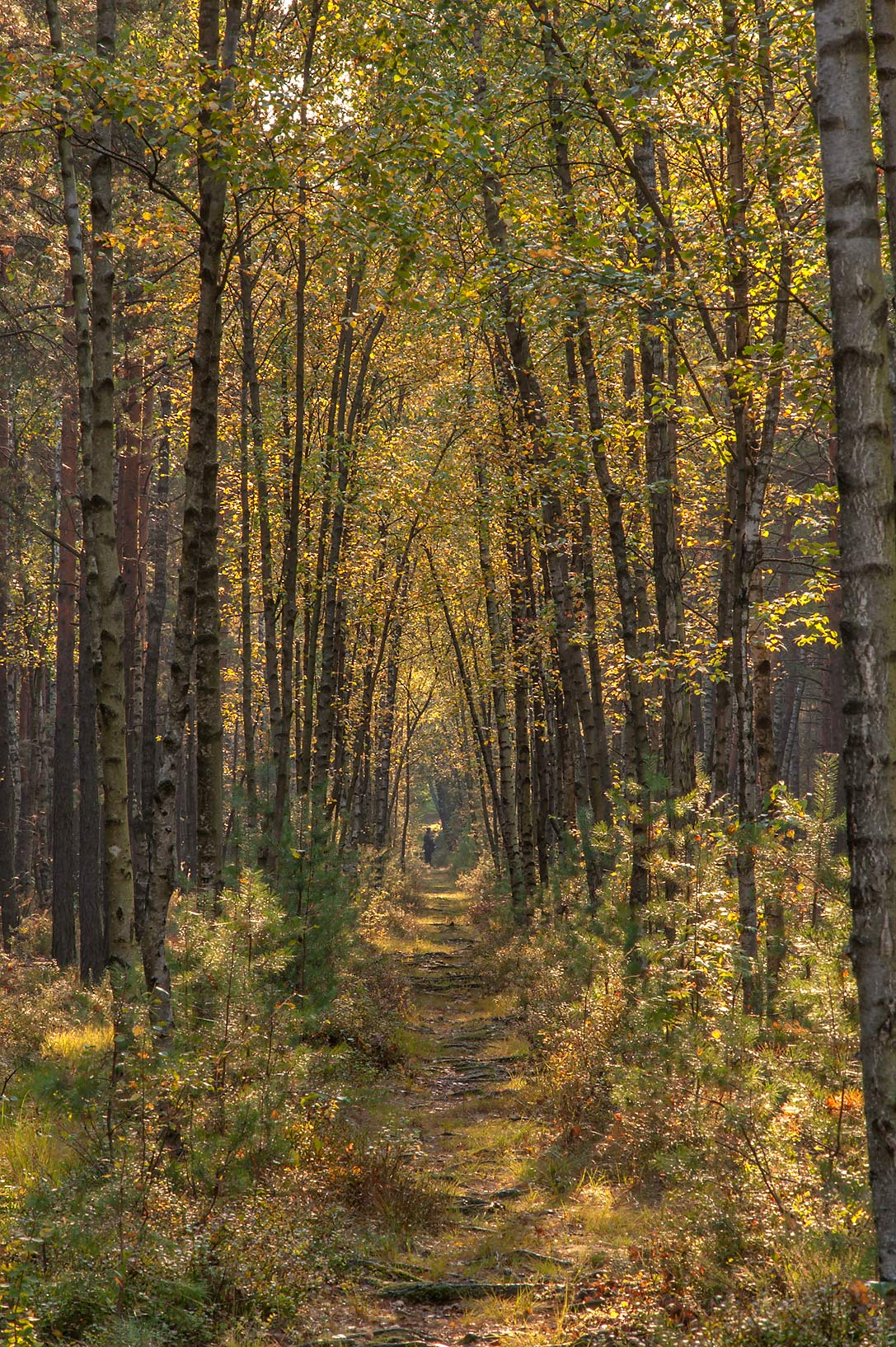 Forest path in swampy area of Sosnovka Park. St.Petersburg, Russia