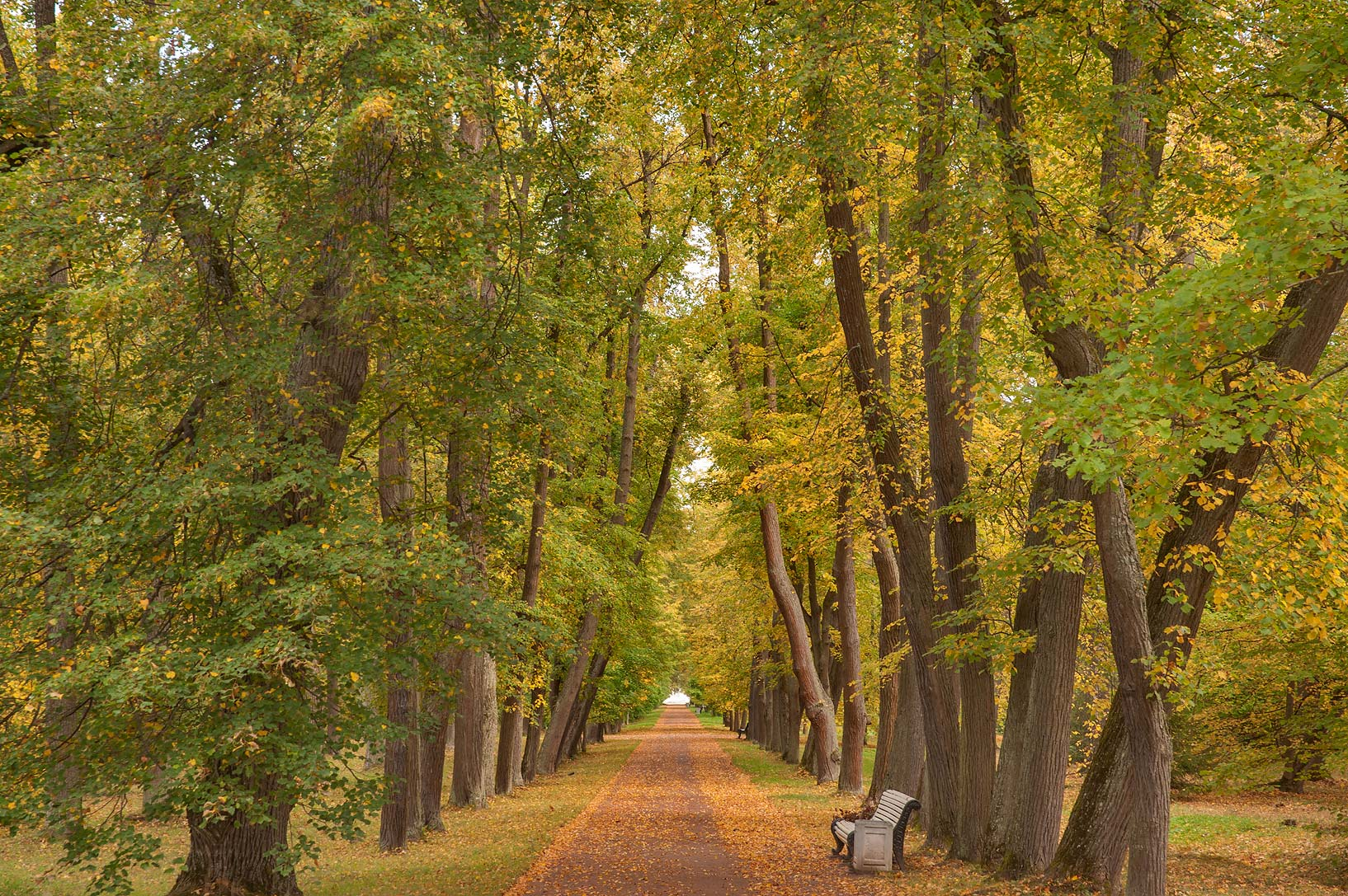 Linden Alley in the park. Oranienbaum (Lomonosov), a suburb of St.Petersburg, Russia