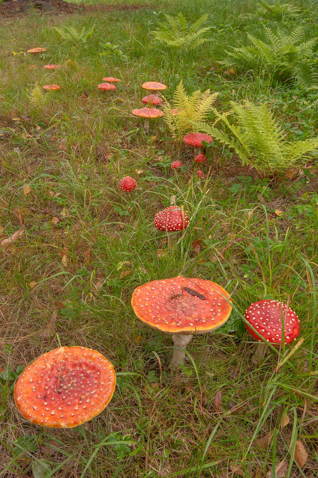 Fly agaric mushrooms (Amanita muscaria) near...a suburb of St.Petersburg, Russia