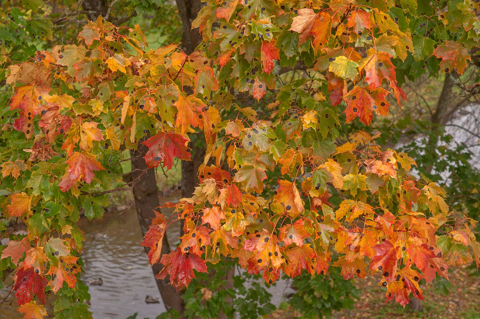 Orange maple leaves near a stone bridge in the...a suburb of St.Petersburg, Russia
