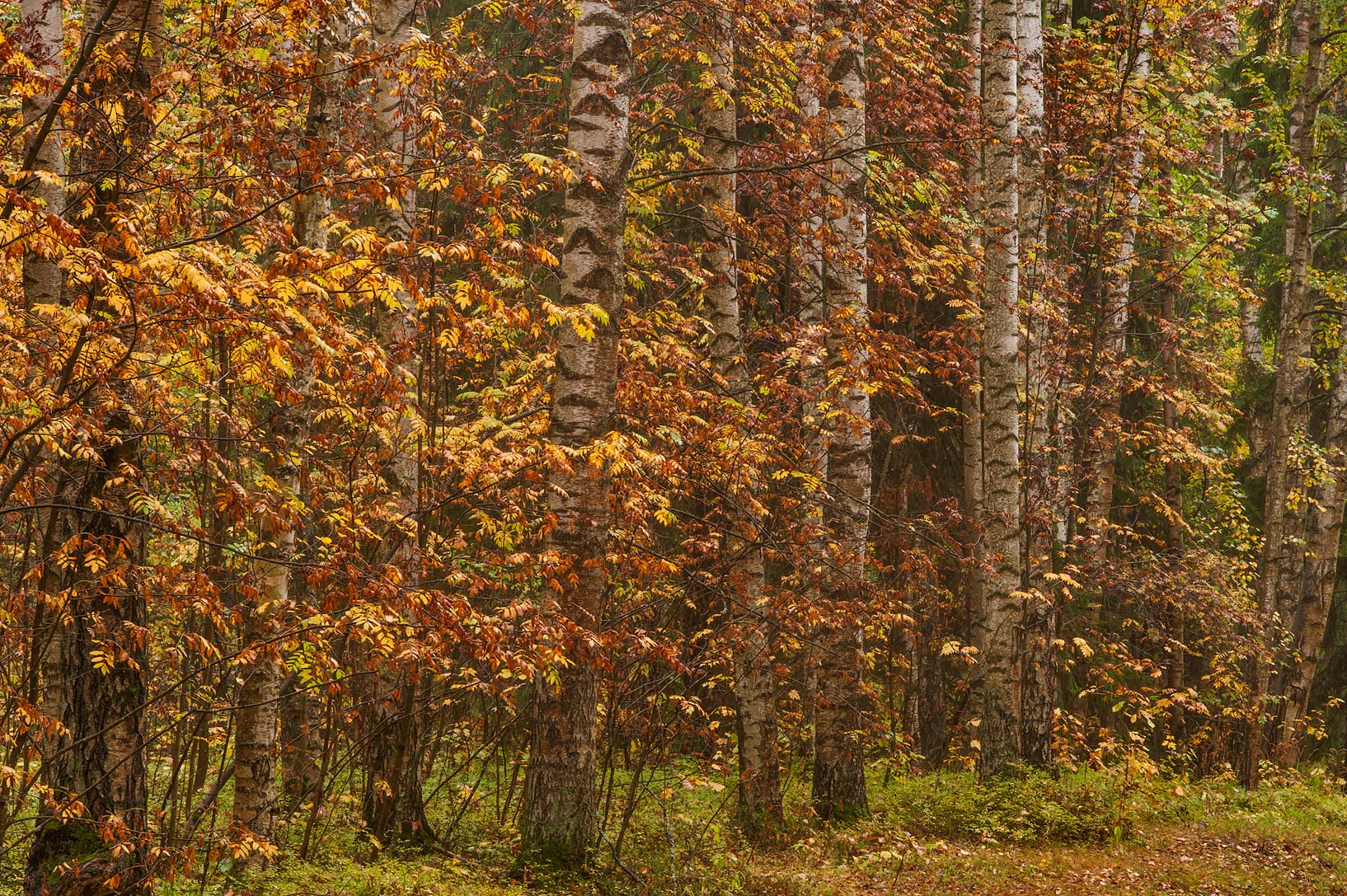Birches near Green Woman Alley in Pavlovsk Park. Pavlovsk, suburb of St.Petersburg, Russia