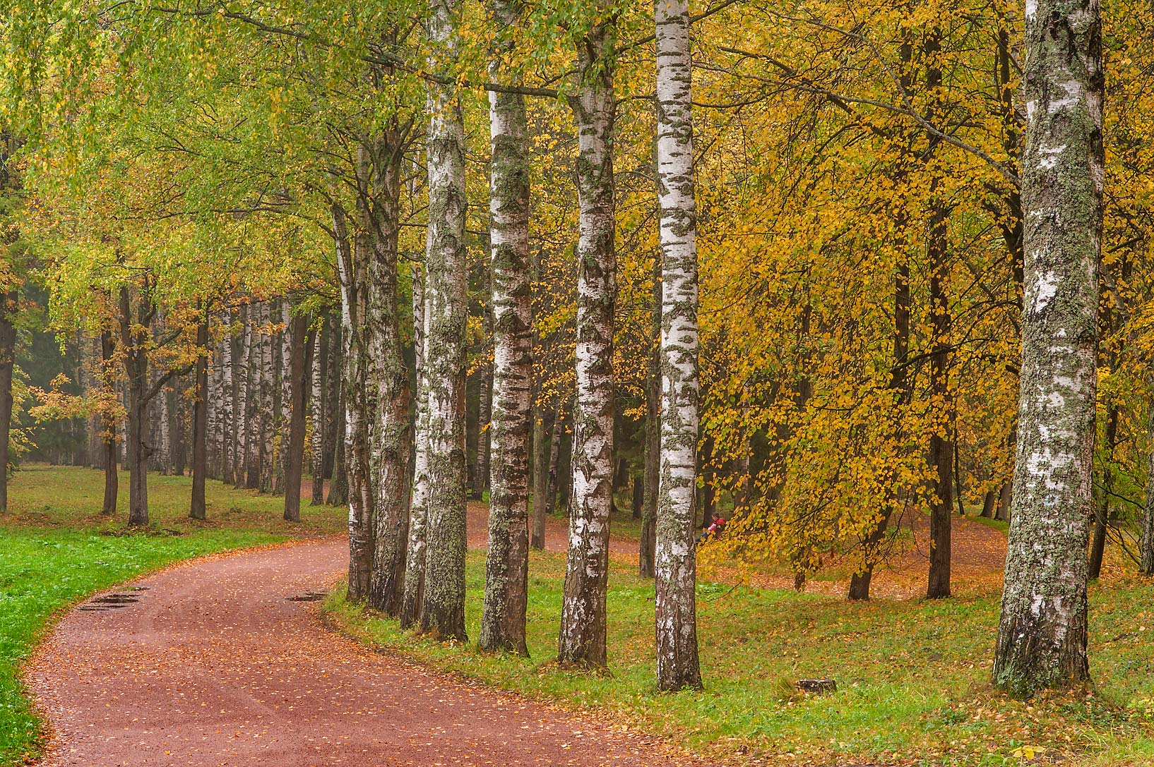 Birch Alley near Staroshaleyny Pond in Pavlovsk...suburb of St.Petersburg, Russia