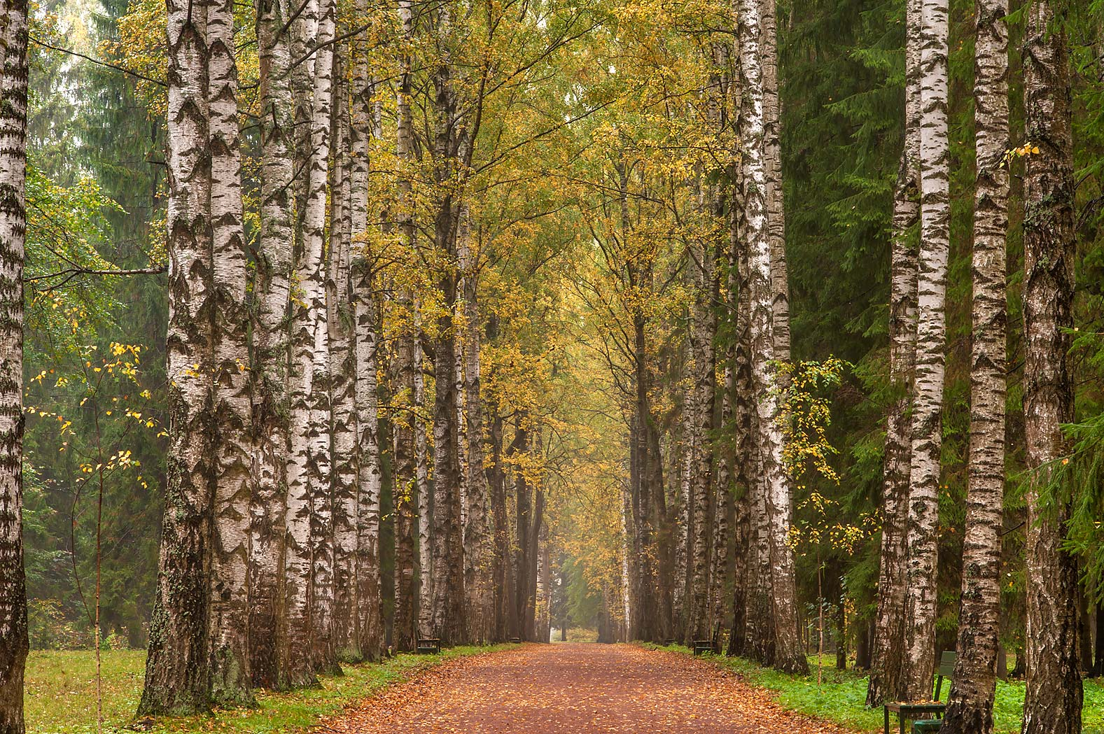 Birch trees of Krasnodolinnaya Alley in Pavlovsk Park. Pavlovsk, suburb of St.Petersburg