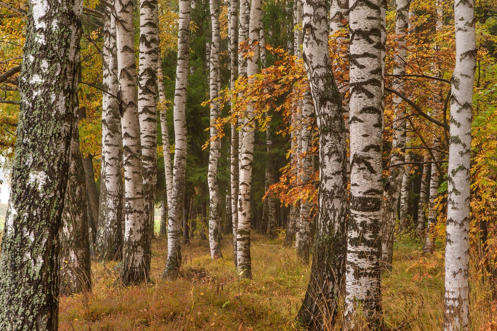 Birch trees near Tyarlevskaya Cutting in Pavlovsk...suburb of St.Petersburg, Russia
