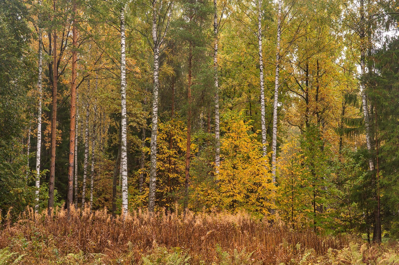 Forest near Zelionoy Zhenshchiny (Green Woman...suburb of St.Petersburg, Russia