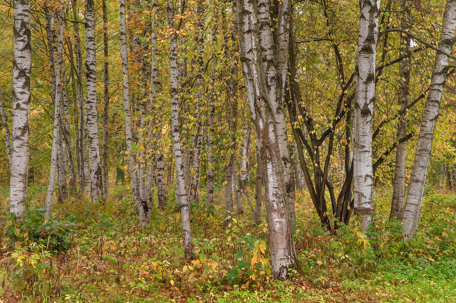 Birch trees in a forest west from railroad in...a suburb of St.Petersburg. Russia