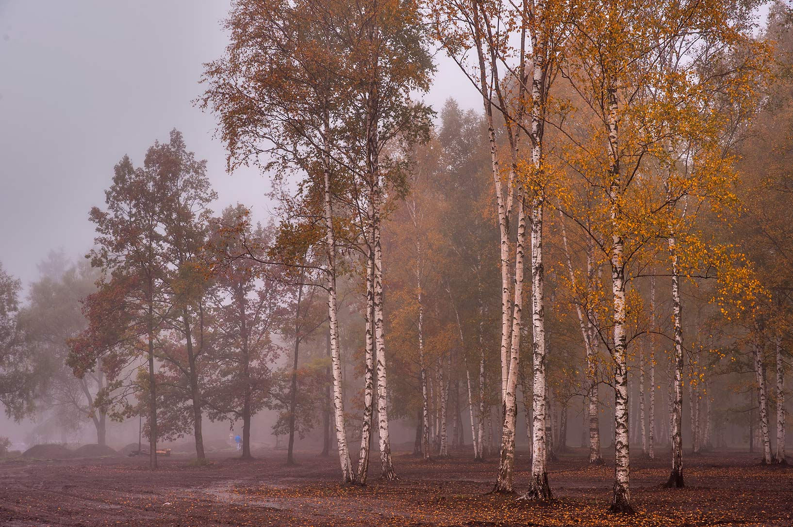 Birch trees in fog near northern end of Beloe...a suburb of St.Petersburg. Russia