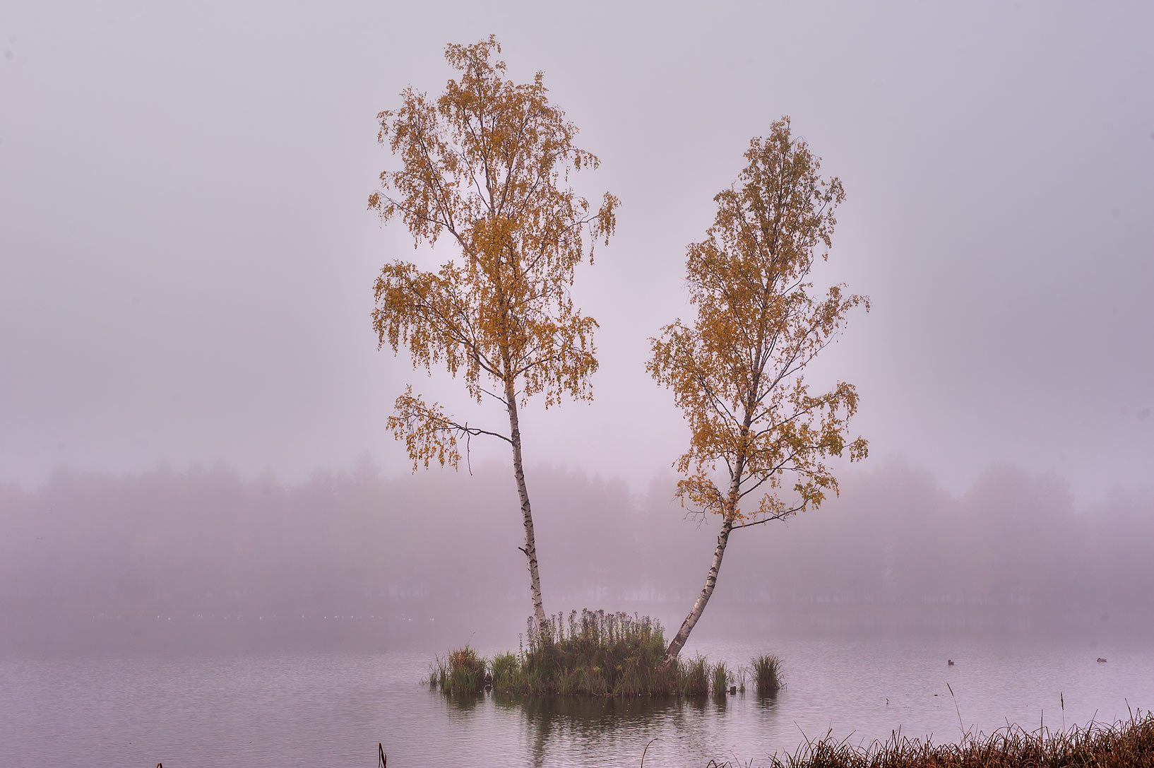 Pair of birches on an island of Beloe Lake in Gatchina, a suburb of St.Petersburg. Russia