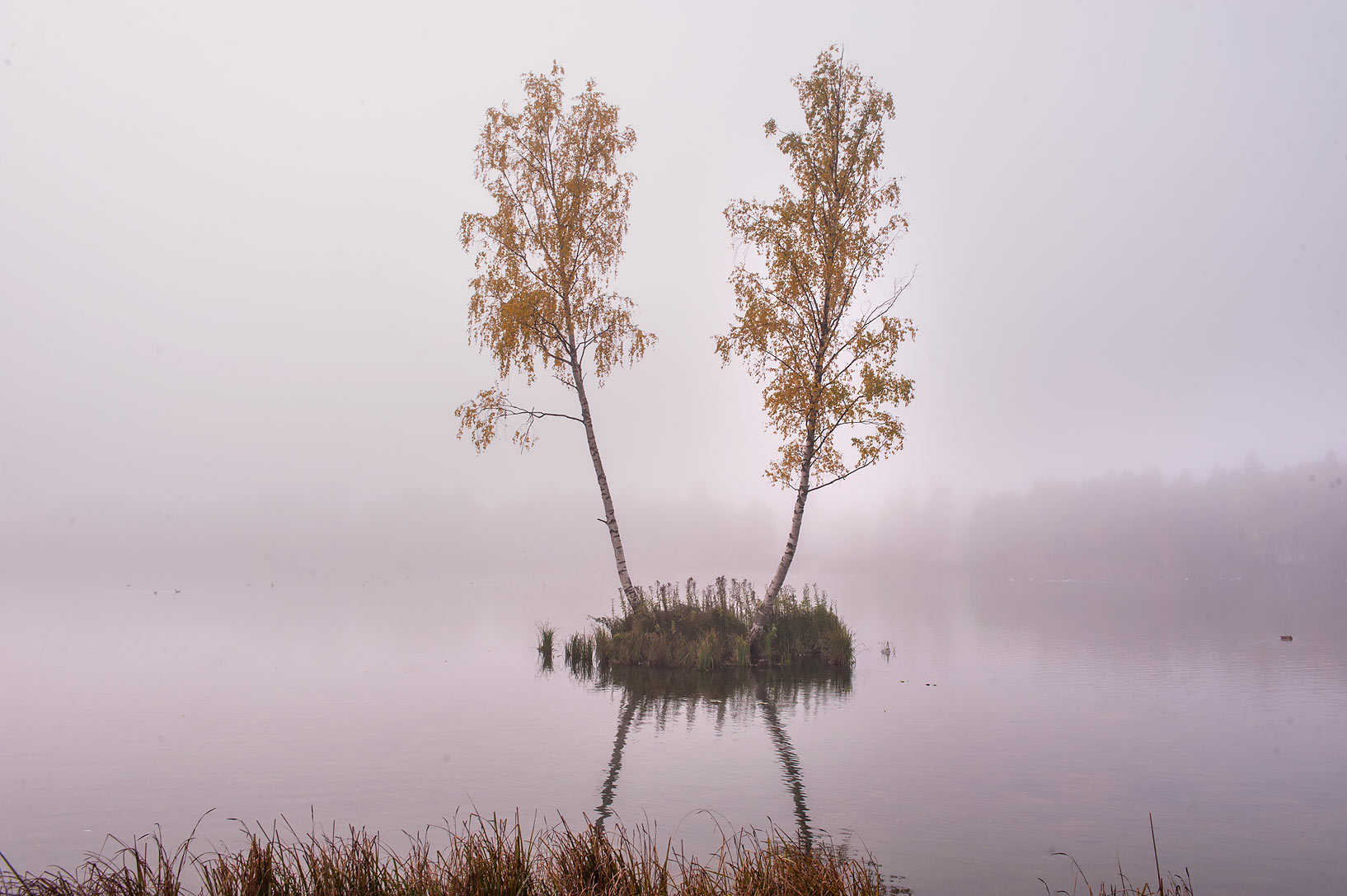 Pair of birches in fog on an island of Beloe Lake...a suburb of St.Petersburg. Russia