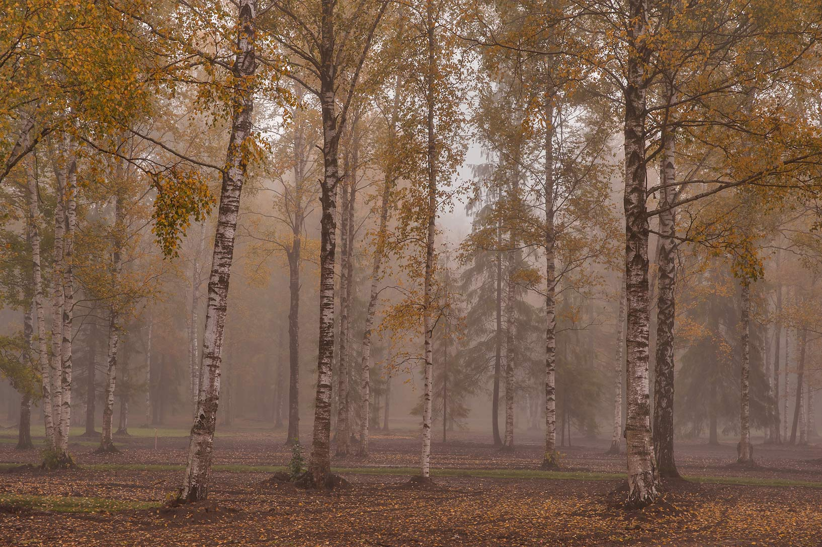 Forest in fog near northern end of Beloe Lake in...a suburb of St.Petersburg. Russia