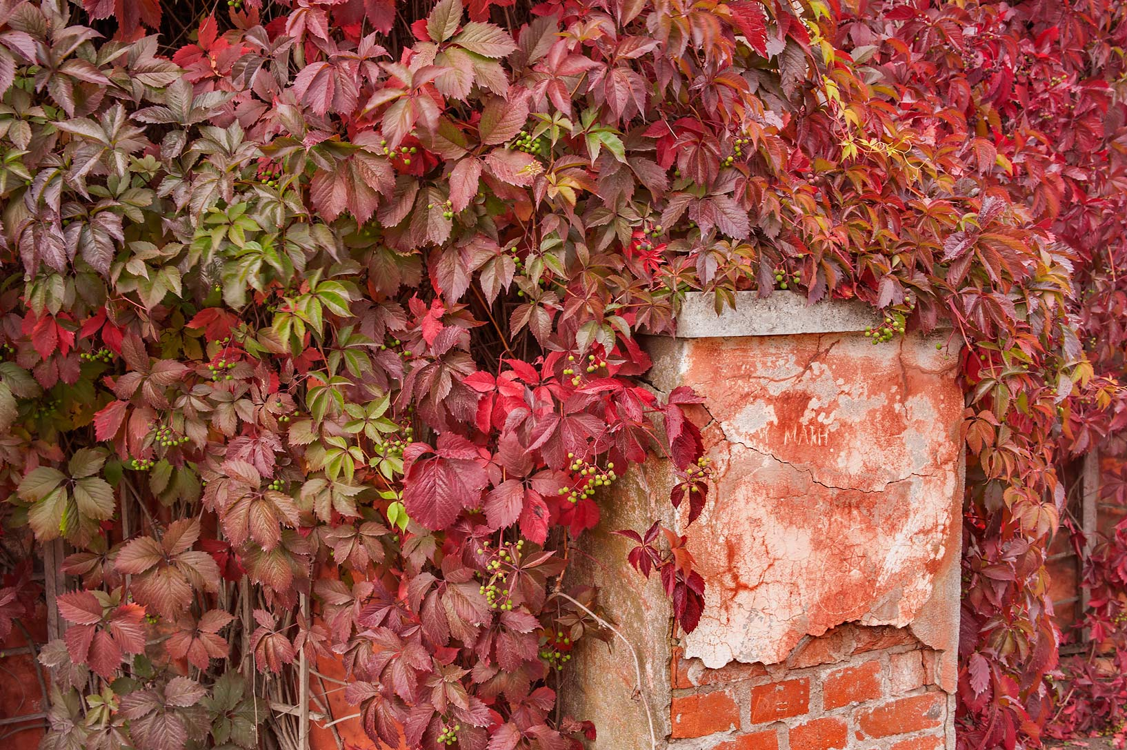 Red fall foliage of Virginia creeper...a suburb of St.Petersburg. Russia
