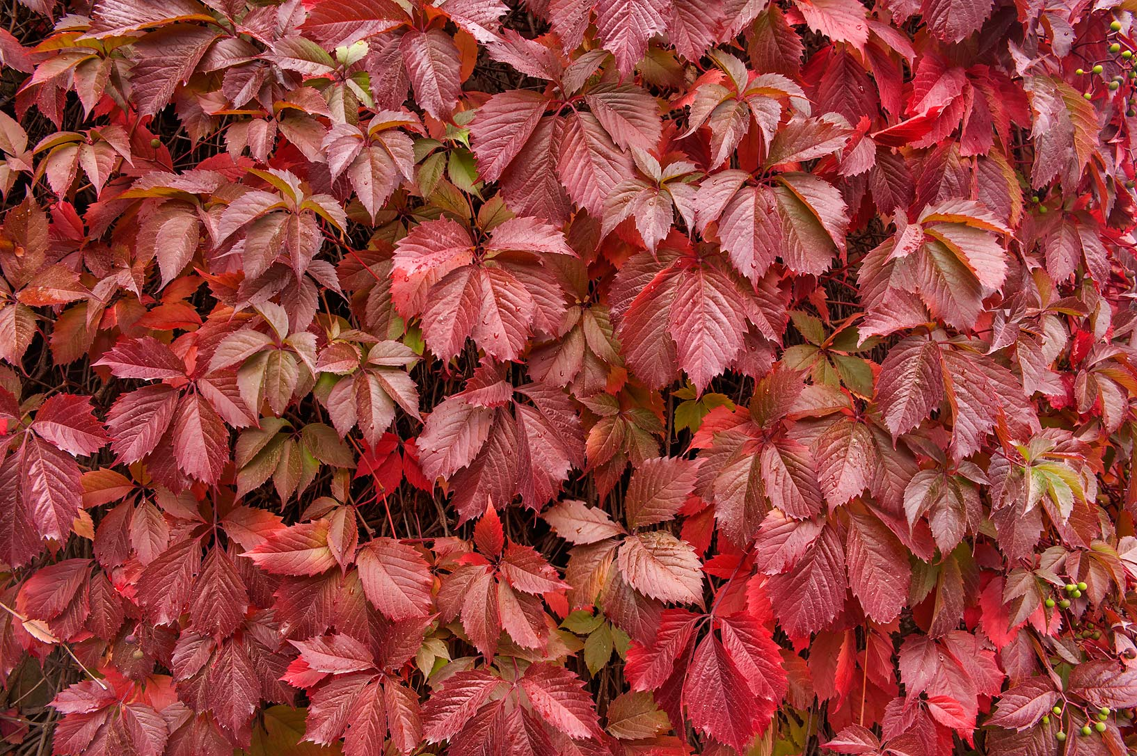 Red palmately compound leaves of Virginia creeper...a suburb of St.Petersburg. Russia