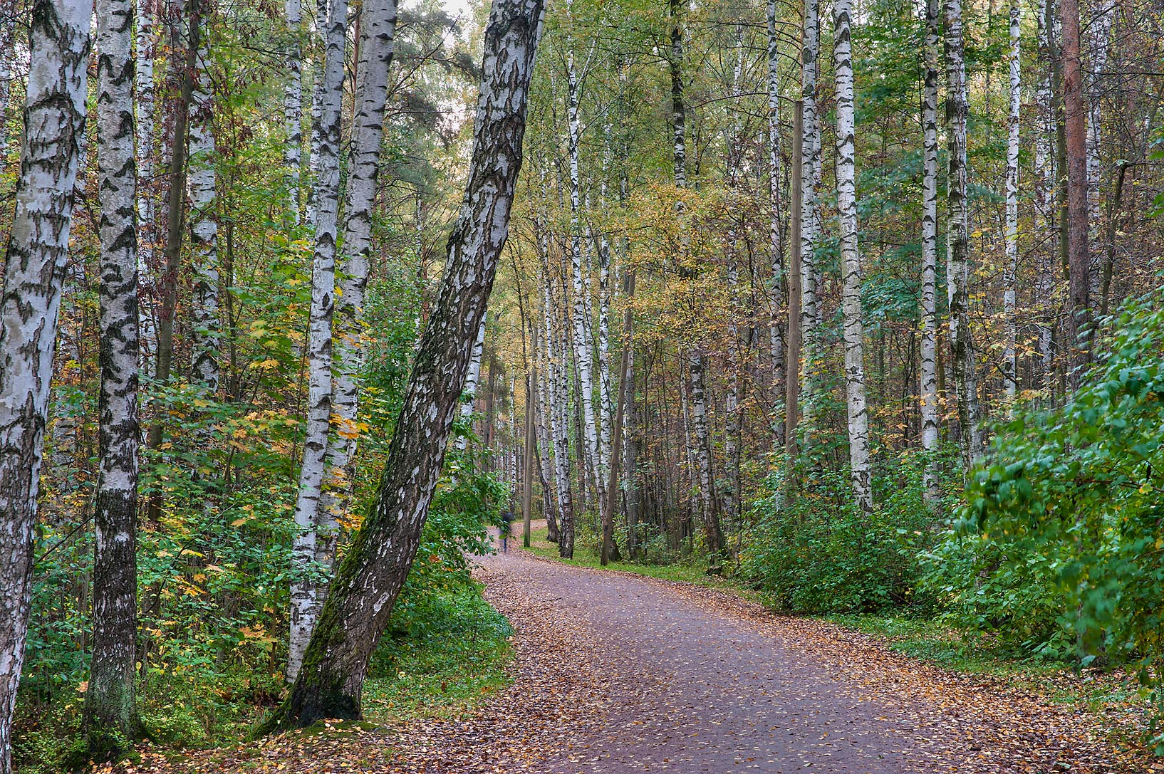 Birch alley in Sosnovka Park. St.Petersburg, Russia