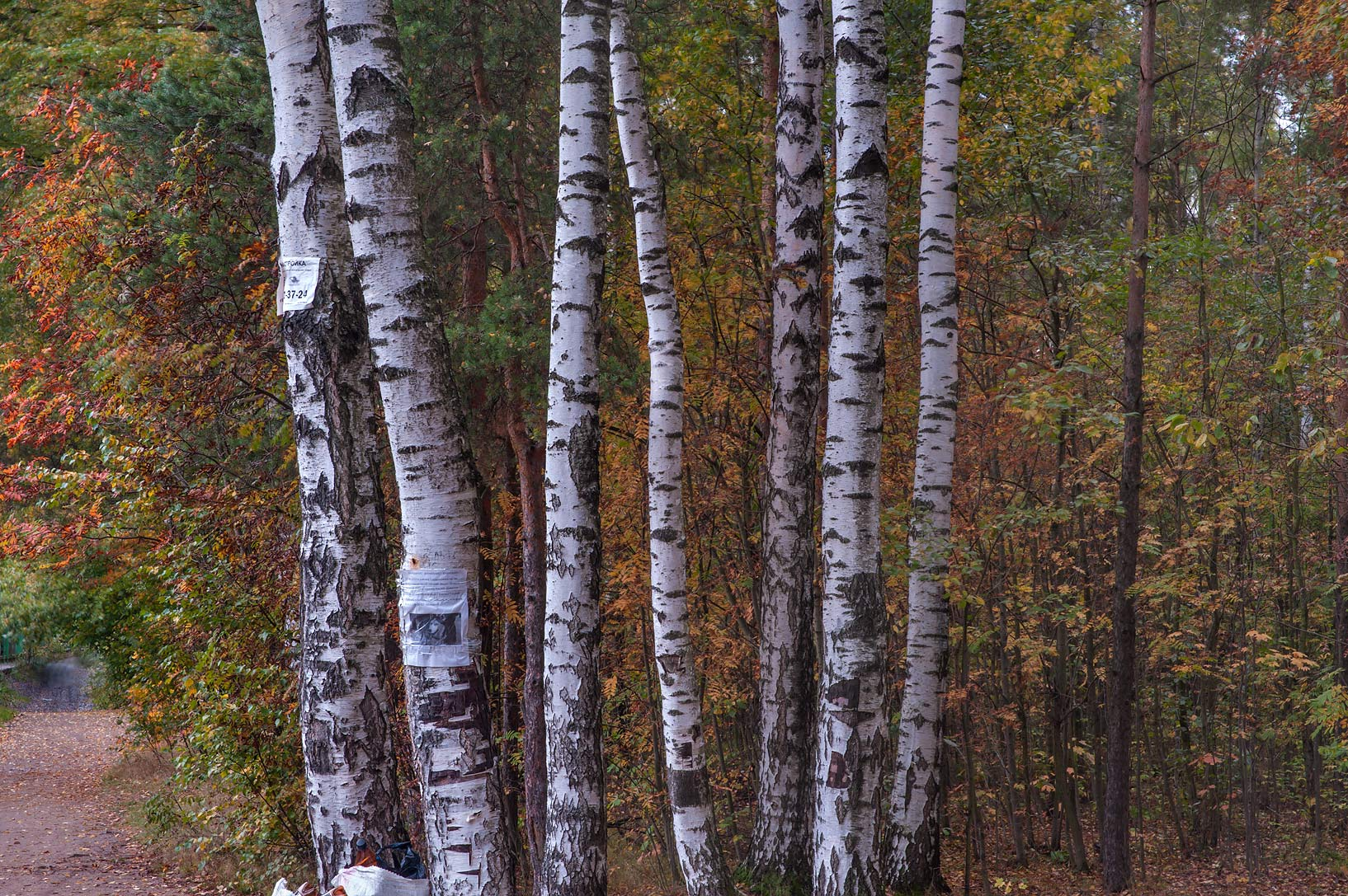 Birch trees in Sosnovka Park. St.Petersburg, Russia
