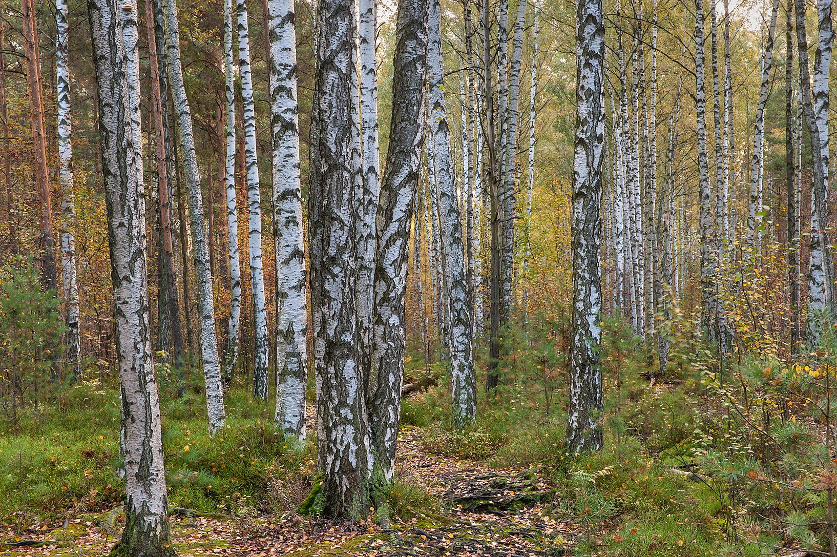 Birches in swampy area in Sosnovka Park. St.Petersburg, Russia
