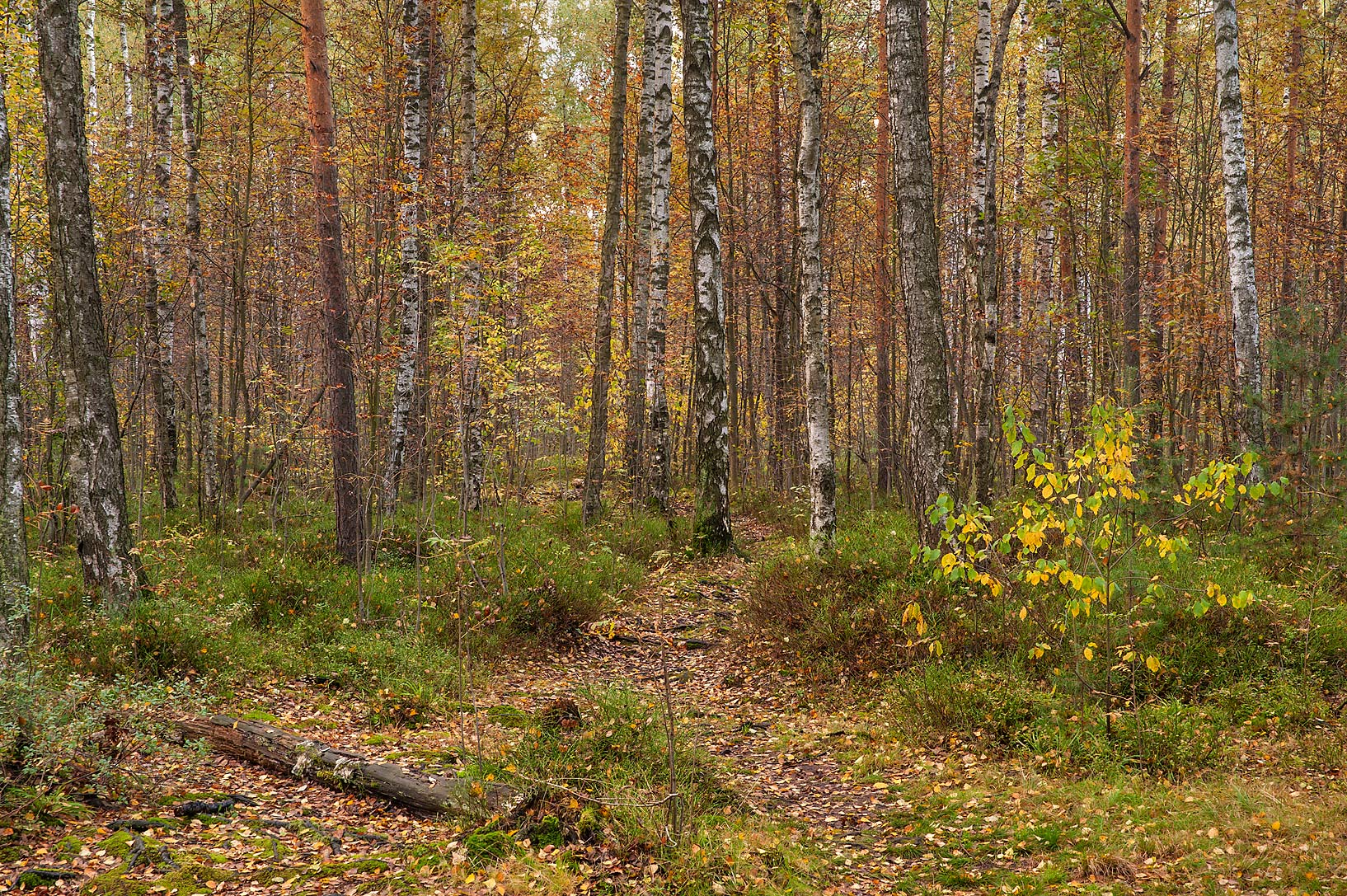 Fall colors in swampy area in Sosnovka Park. St.Petersburg, Russia