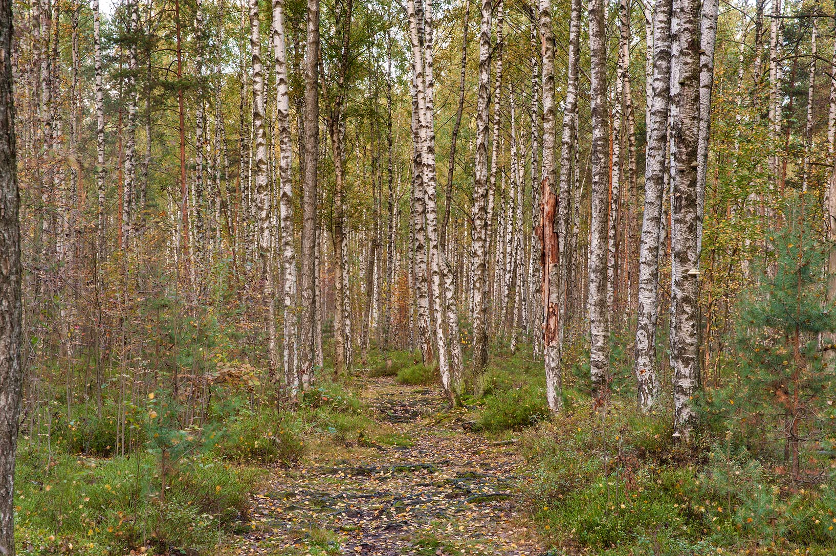 Birch forest in swampy area in Sosnovka Park. St.Petersburg, Russia
