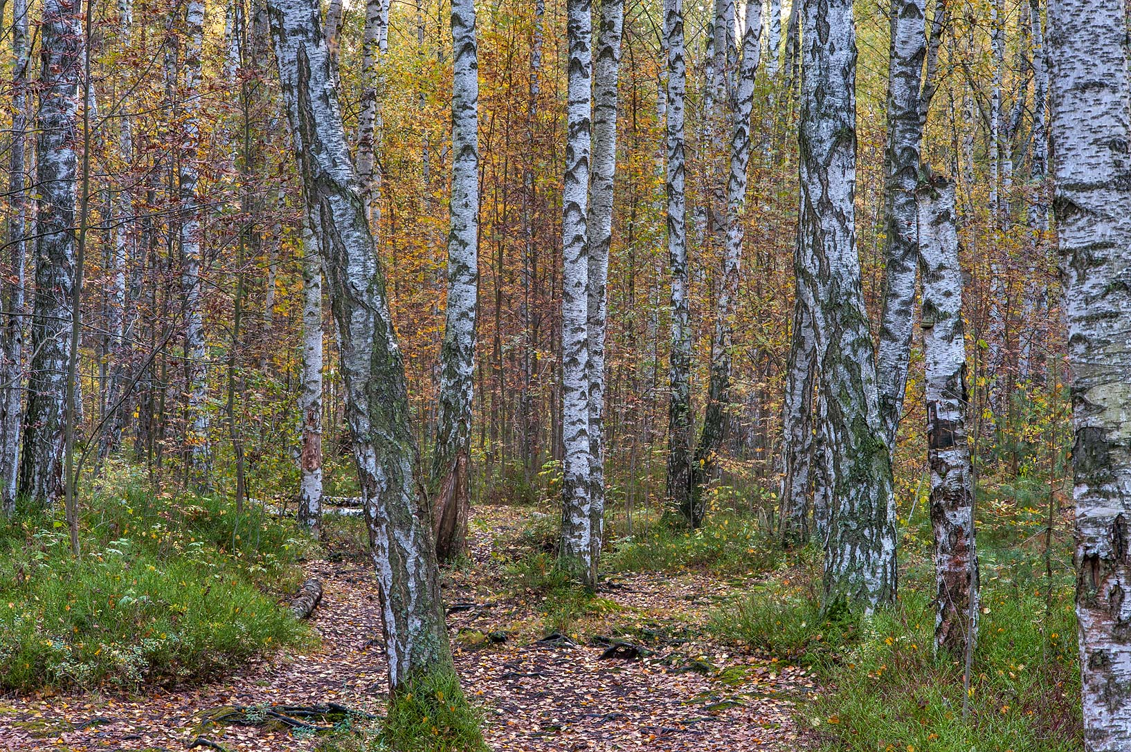Fall colors of a forest in swampy area in Sosnovka Park. St.Petersburg, Russia