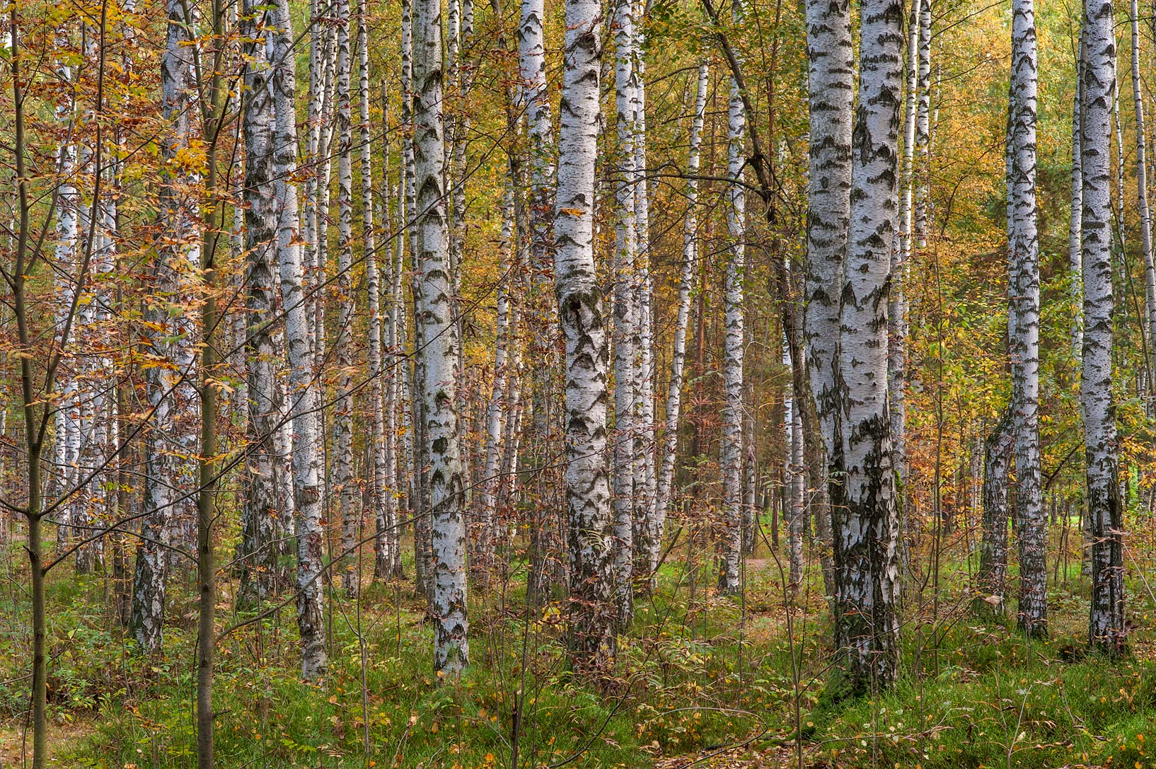 Fall colors of birches in swampy area in Sosnovka Park. St.Petersburg, Russia