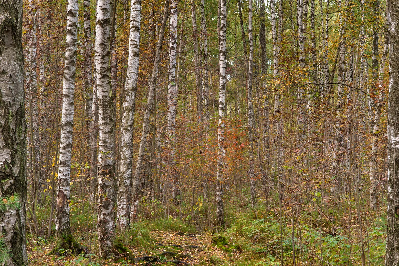 Birch forest in eastern part of Sosnovka Park. St.Petersburg, Russia