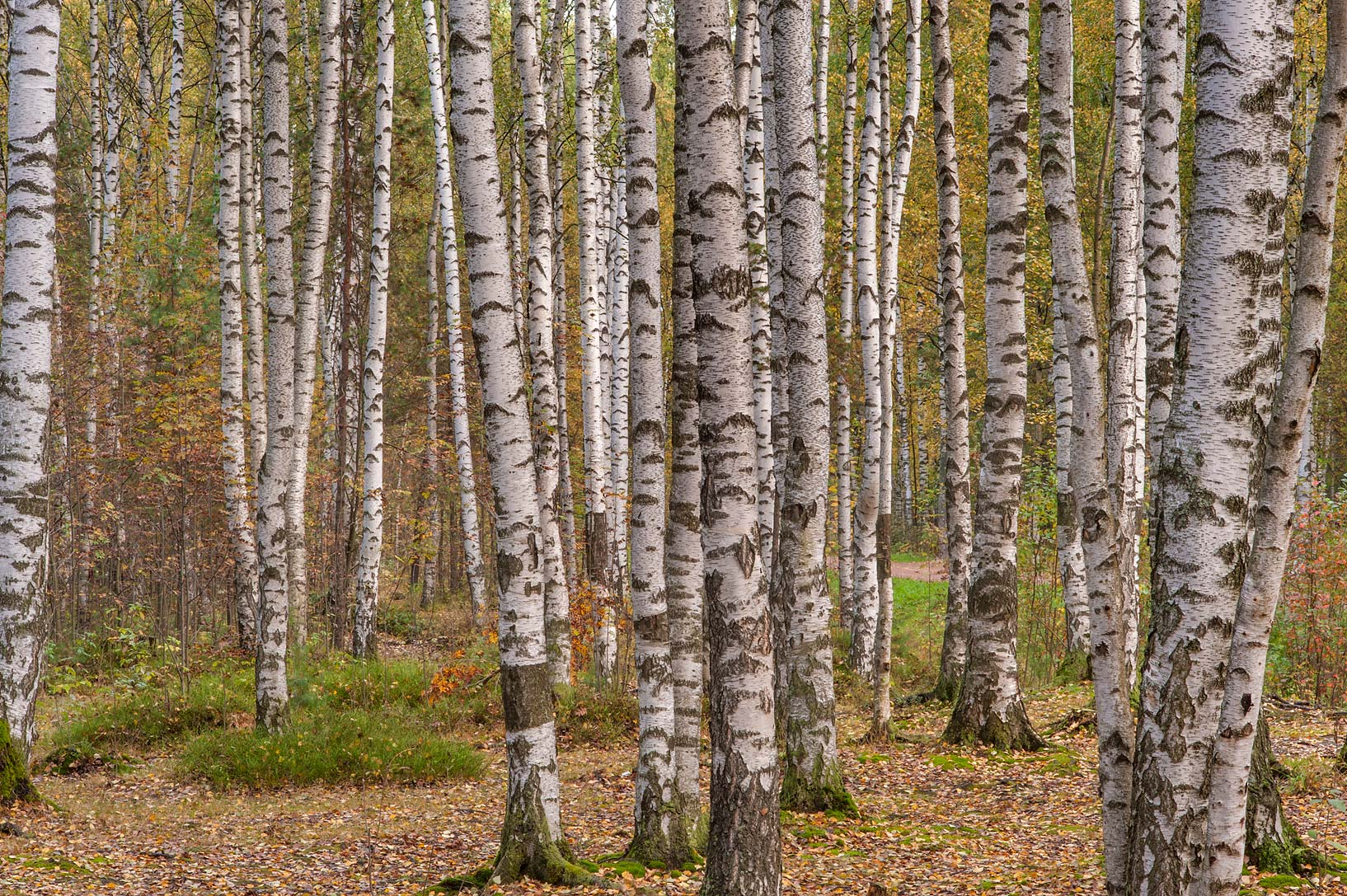 Birch trees in eastern part of Sosnovka Park. St.Petersburg, Russia