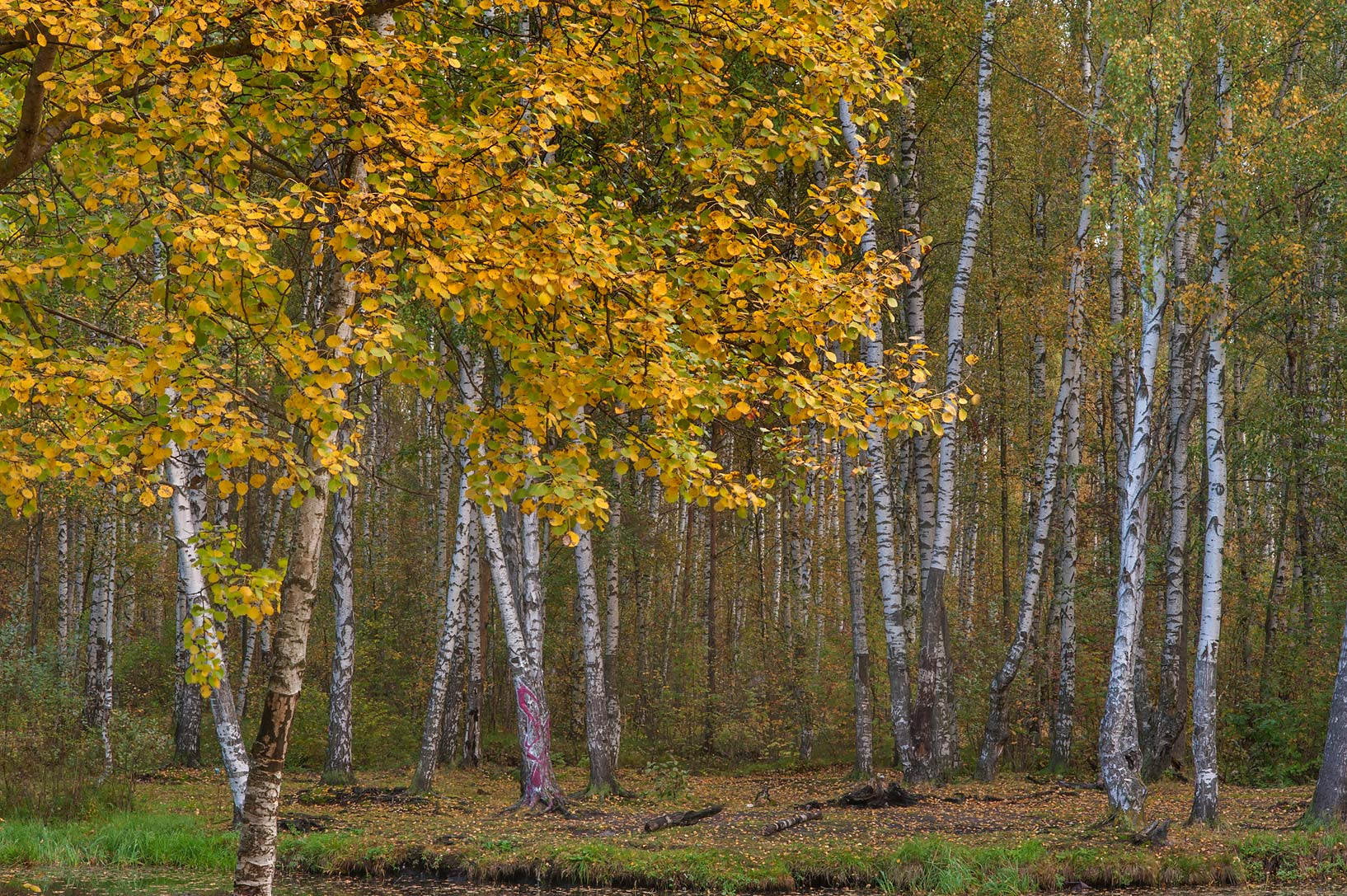 Birch forest around a pond near Listvennaya Alley in Sosnovka Park. St.Petersburg, Russia