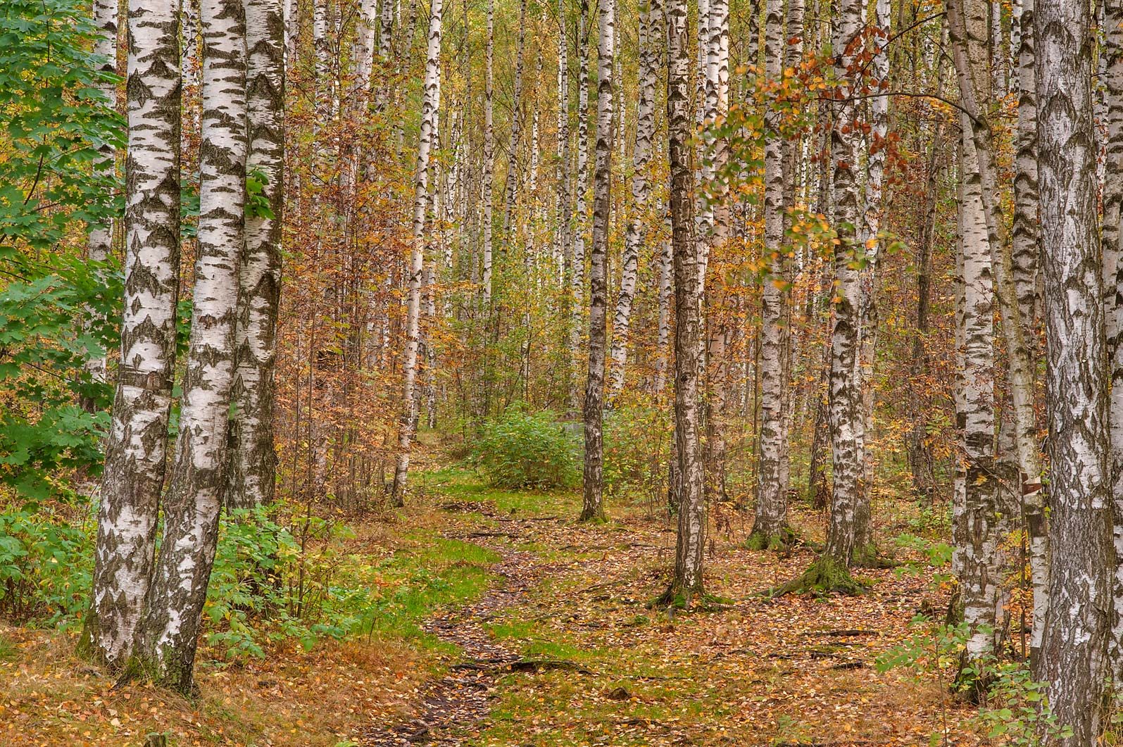 Fall colors of birch forest from Listvennaya Alley in Sosnovka Park. St.Petersburg, Russia