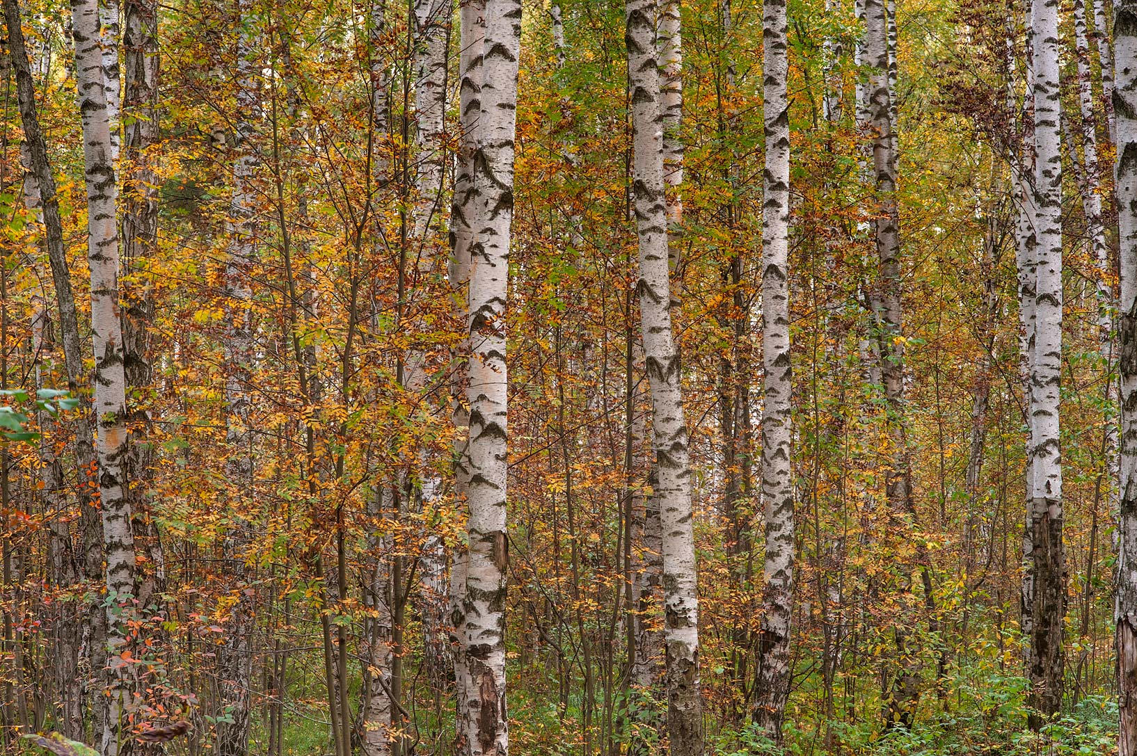 Rusty colors of birch forest from Listvennaya...Sosnovka Park. St.Petersburg, Russia