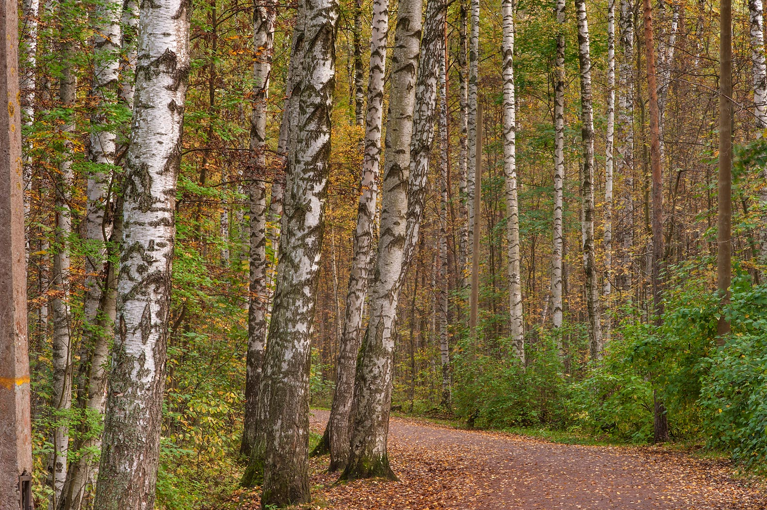 Road with birch trees in Sosnovka Park. St.Petersburg, Russia