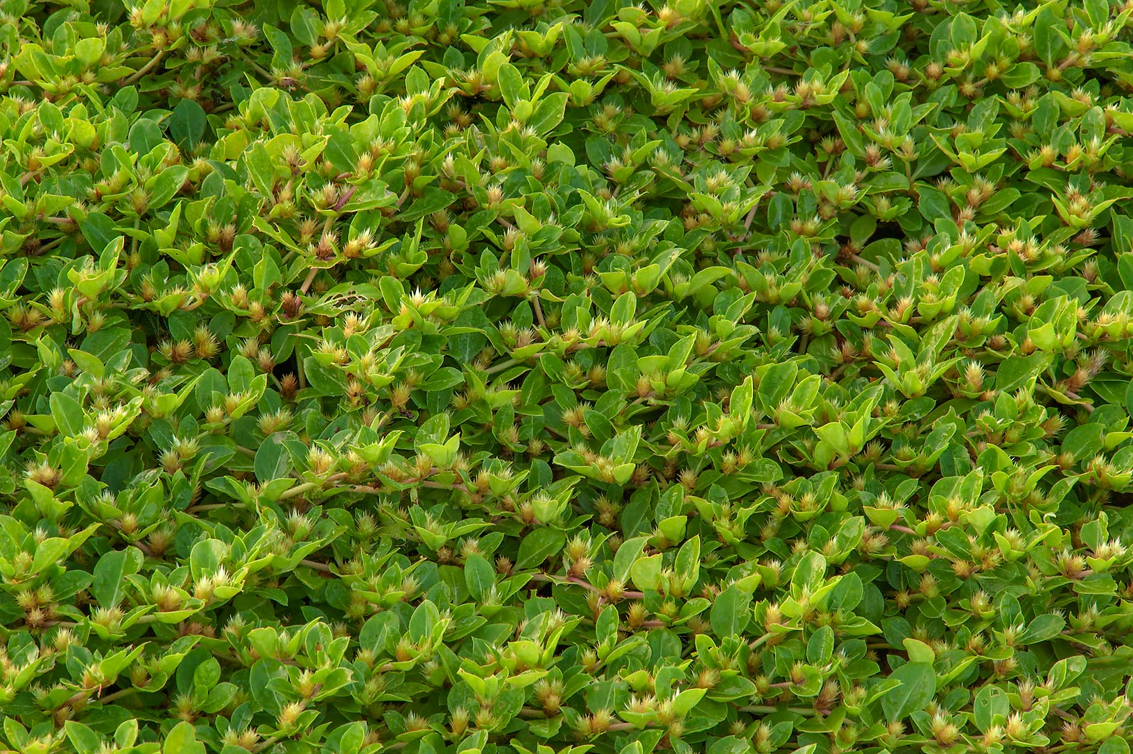 Carpet of Khaki Burr weed (Alternanthera pungens...in Irkhaya (Irkaya) Farms. Qatar