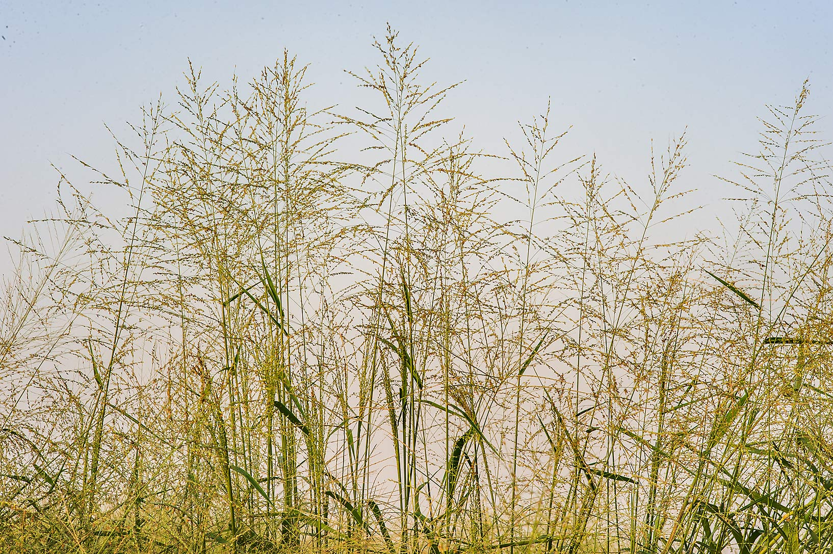 Kleingrass (blue panicgrass, Panicum coloratum...in Irkhaya (Irkaya) Farms. Qatar