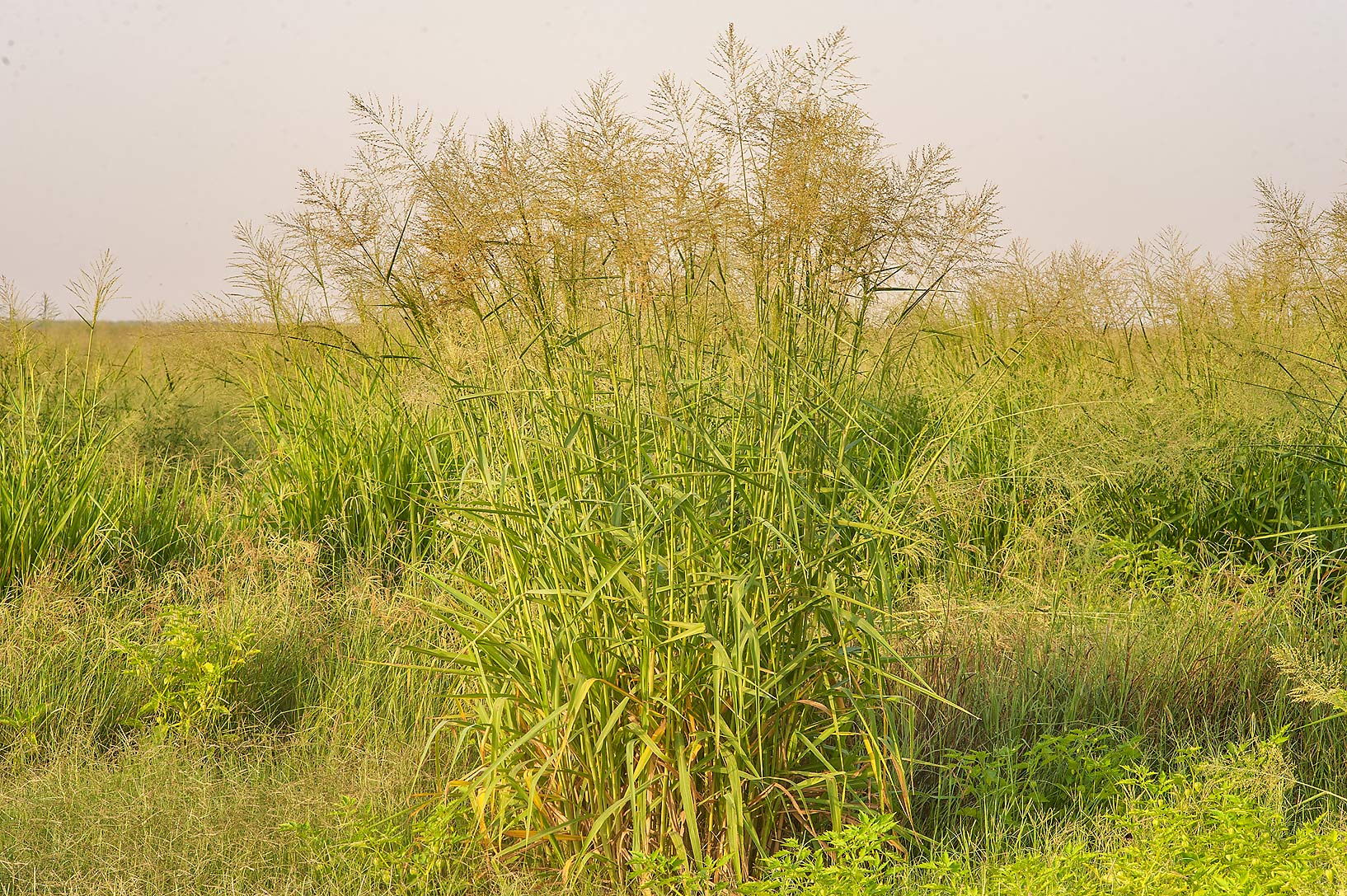 Compact stand of Kleingrass (blue panicgrass...in Irkhaya (Irkaya) Farms. Qatar