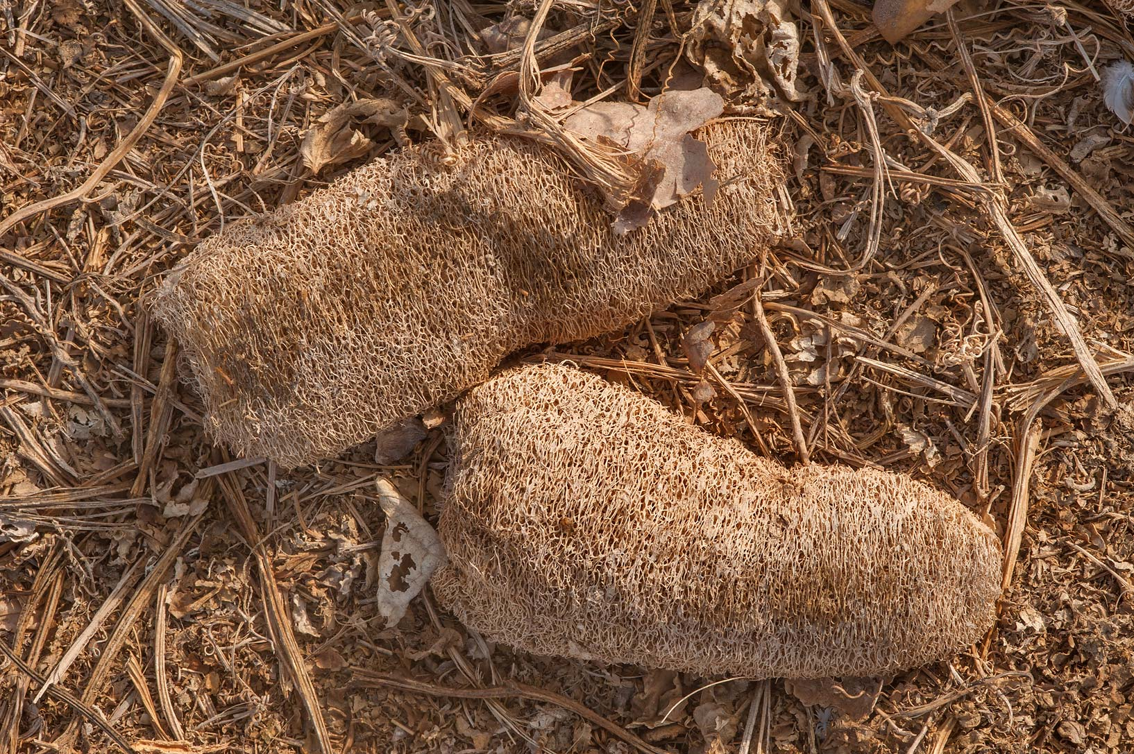 Dry fruits of dishrag gourd (Luffa aegyptiaca...in Irkhaya (Irkaya) Farms. Qatar
