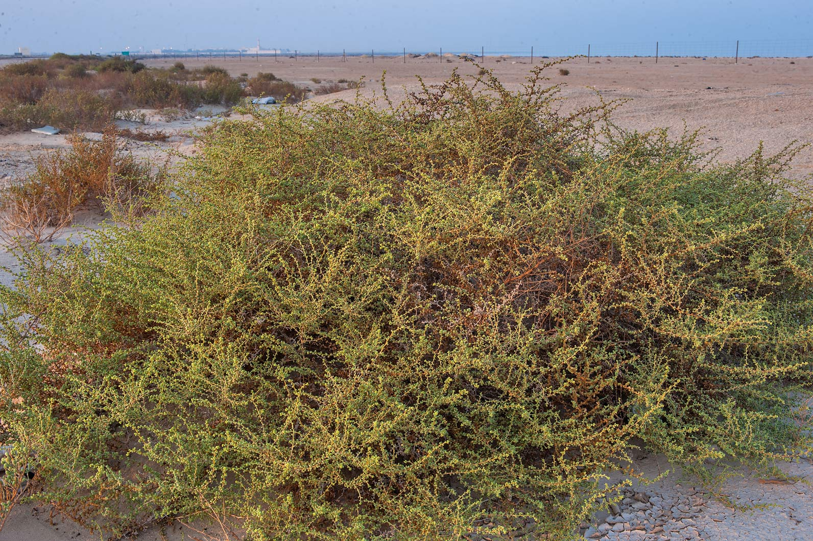 Large plant of Salsola drummondii on roadside of...Samra, near the border. Southern Qatar