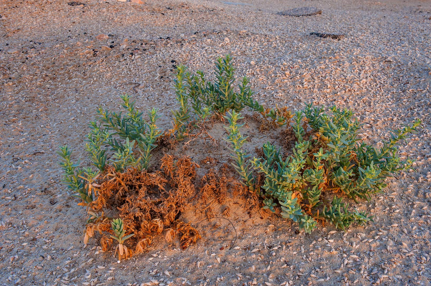 Almost dry plant of Bienertia cycloptera on...Samra, near the border. Southern Qatar