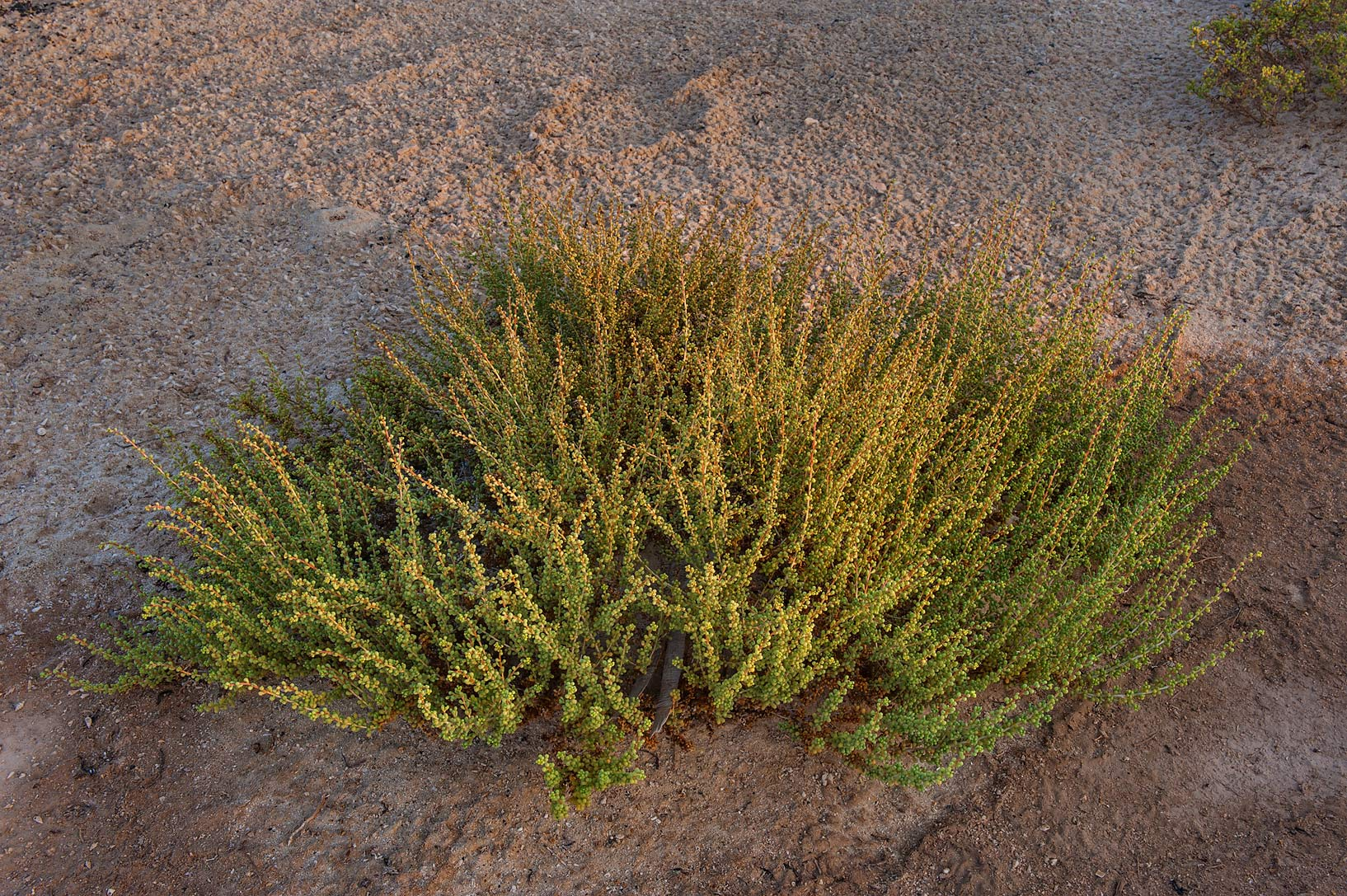 Young plant of Salsola drummondii on roadside of...Samra, near the border. Southern Qatar