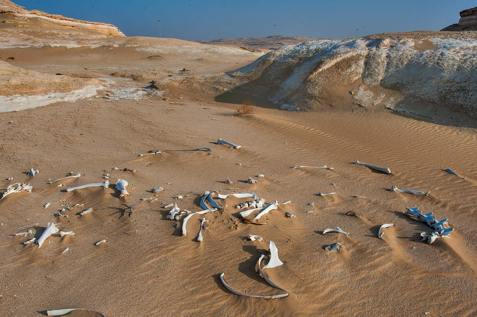 Camel bones behind chalk cliffs near Salwa Rd. in area of Rawdat Ekdaim. Southern Qatar