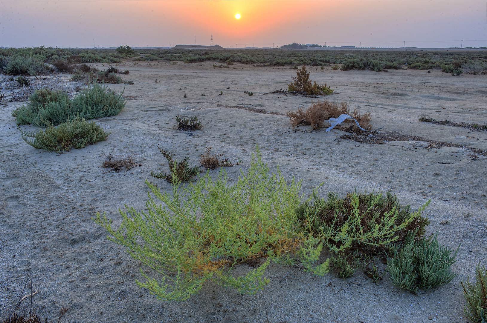 Plant of Bienertia sinuspersici at sunrise near...Jazirat Bin Ghanim). Al Khor, Qatar