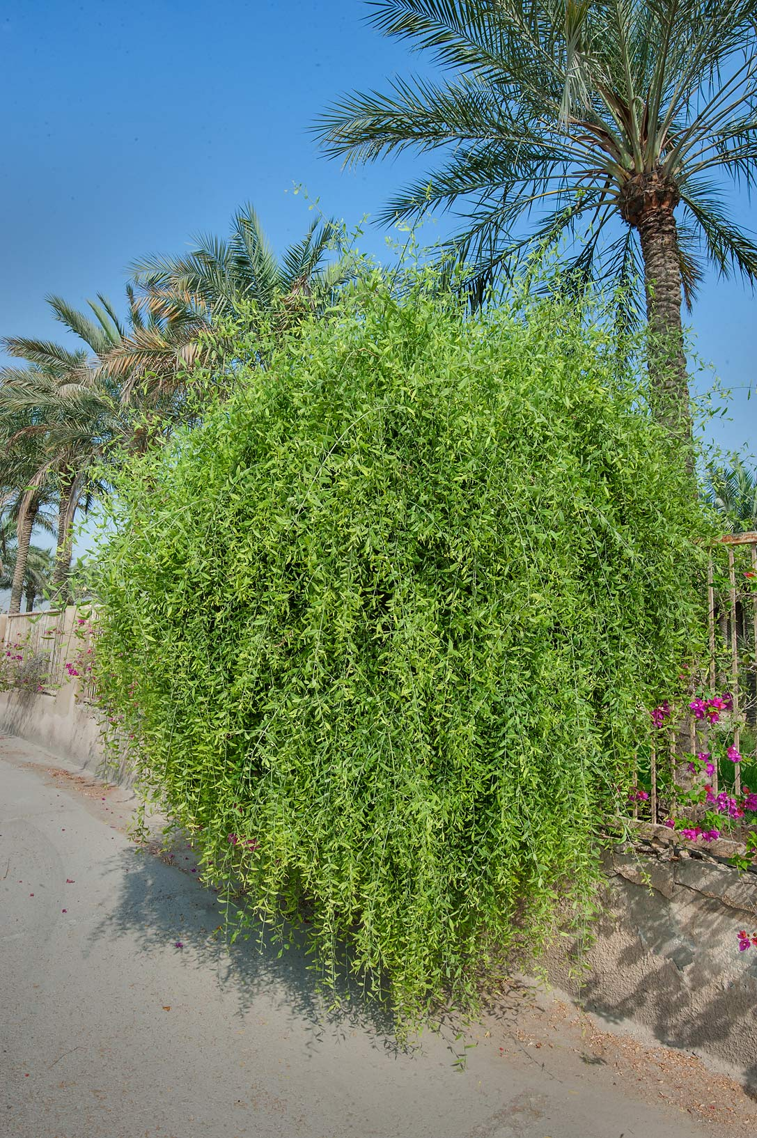 Toothbrush tree (Salvadora persica) on a fence of...Al Attiya) Roundabout. Doha, Qatar