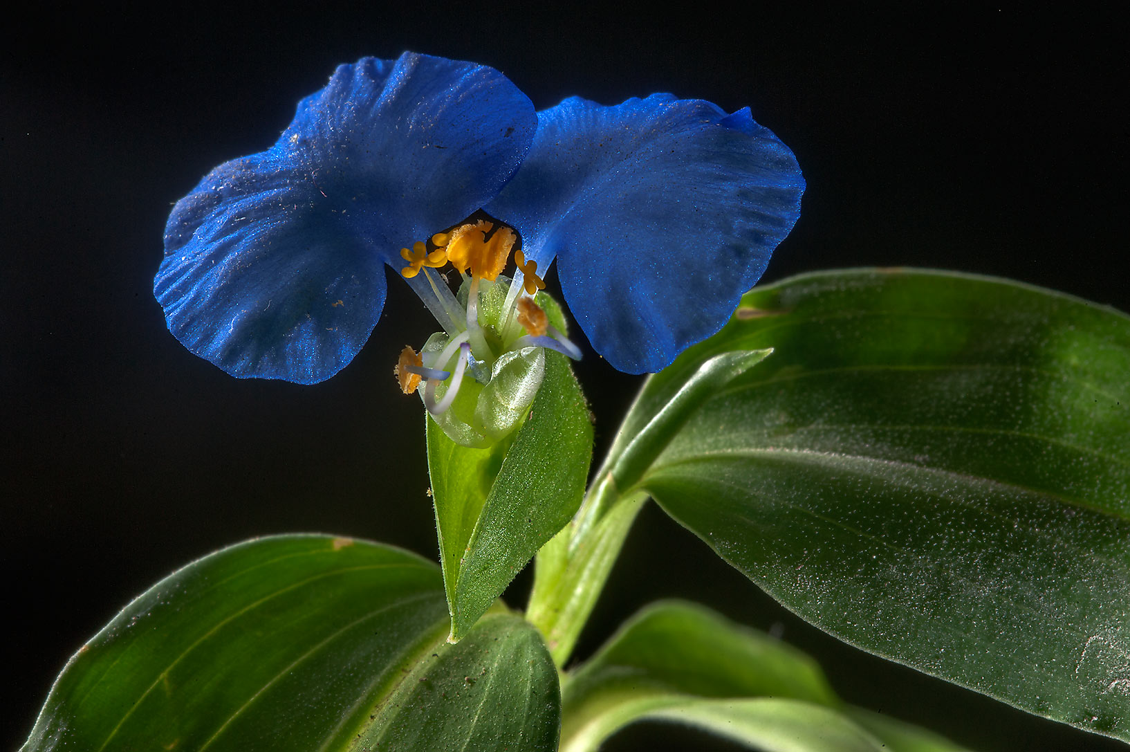 Blooming Benghal dayflower (tropical spiderwort...Onaiza area near West Bay. Doha, Qatar