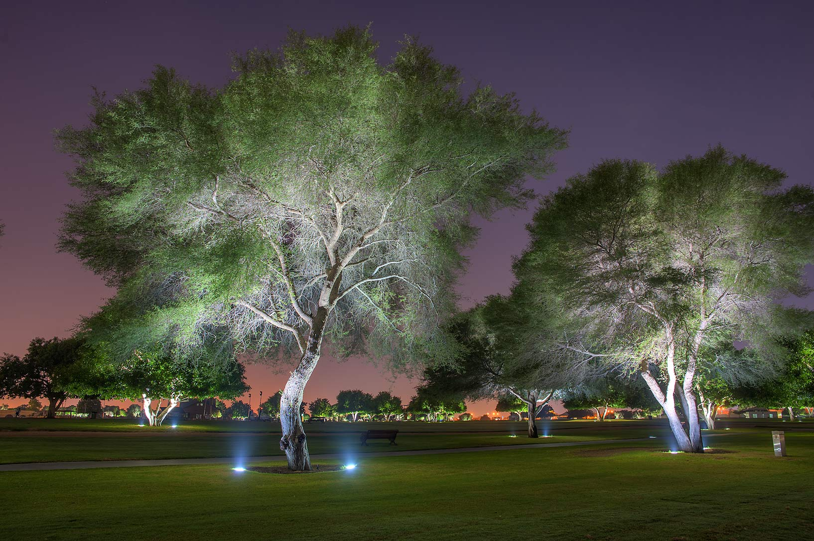 Gum arabic tree (babul, Vachellia nilotica...in Aspire Park at morning. Doha, Qatar