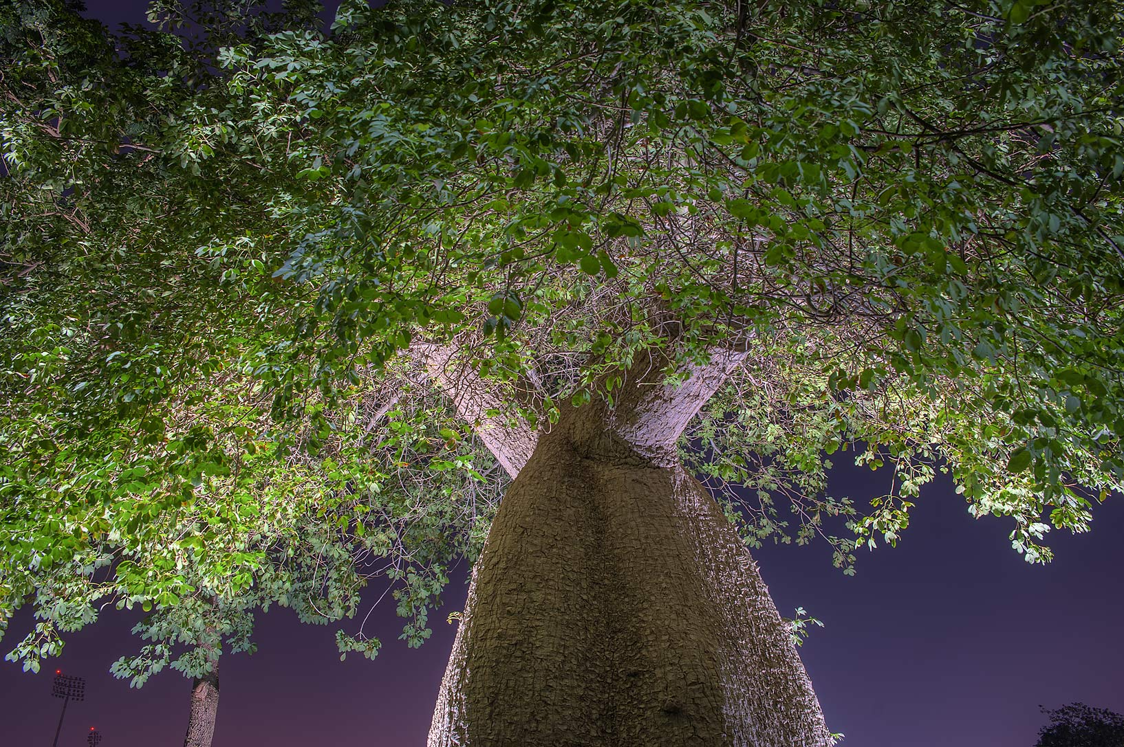 Crown of silk floss tree (Chorisia speciosa...in Aspire Park at morning. Doha, Qatar