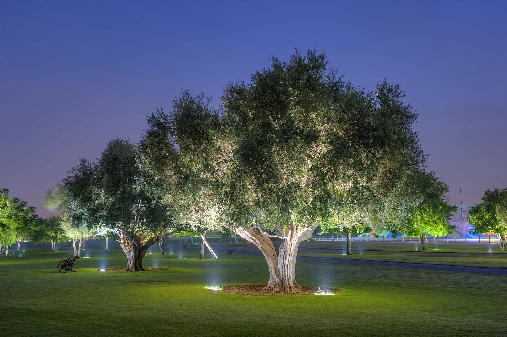 Olive tree (Olea europaea) in Aspire Park at morning. Doha, Qatar
